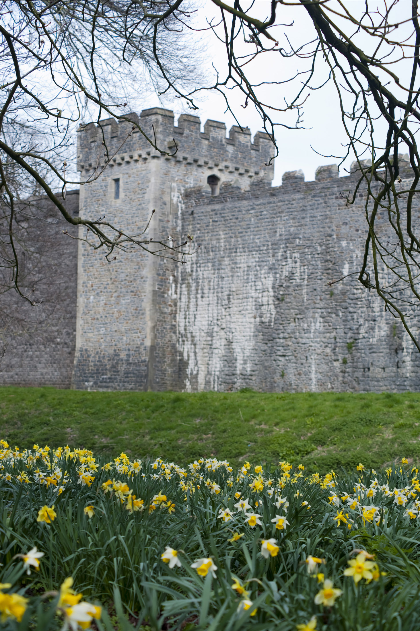 cardiff castle walls, lined with daffodils, the national flower of wales