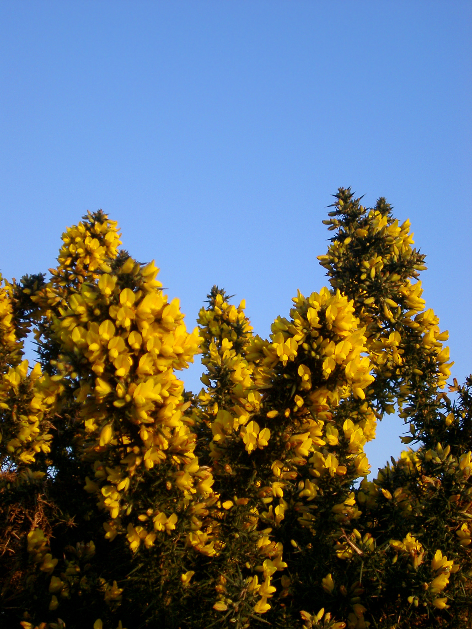 yellow flowers of a gorse pictured against a brilliant blue sky