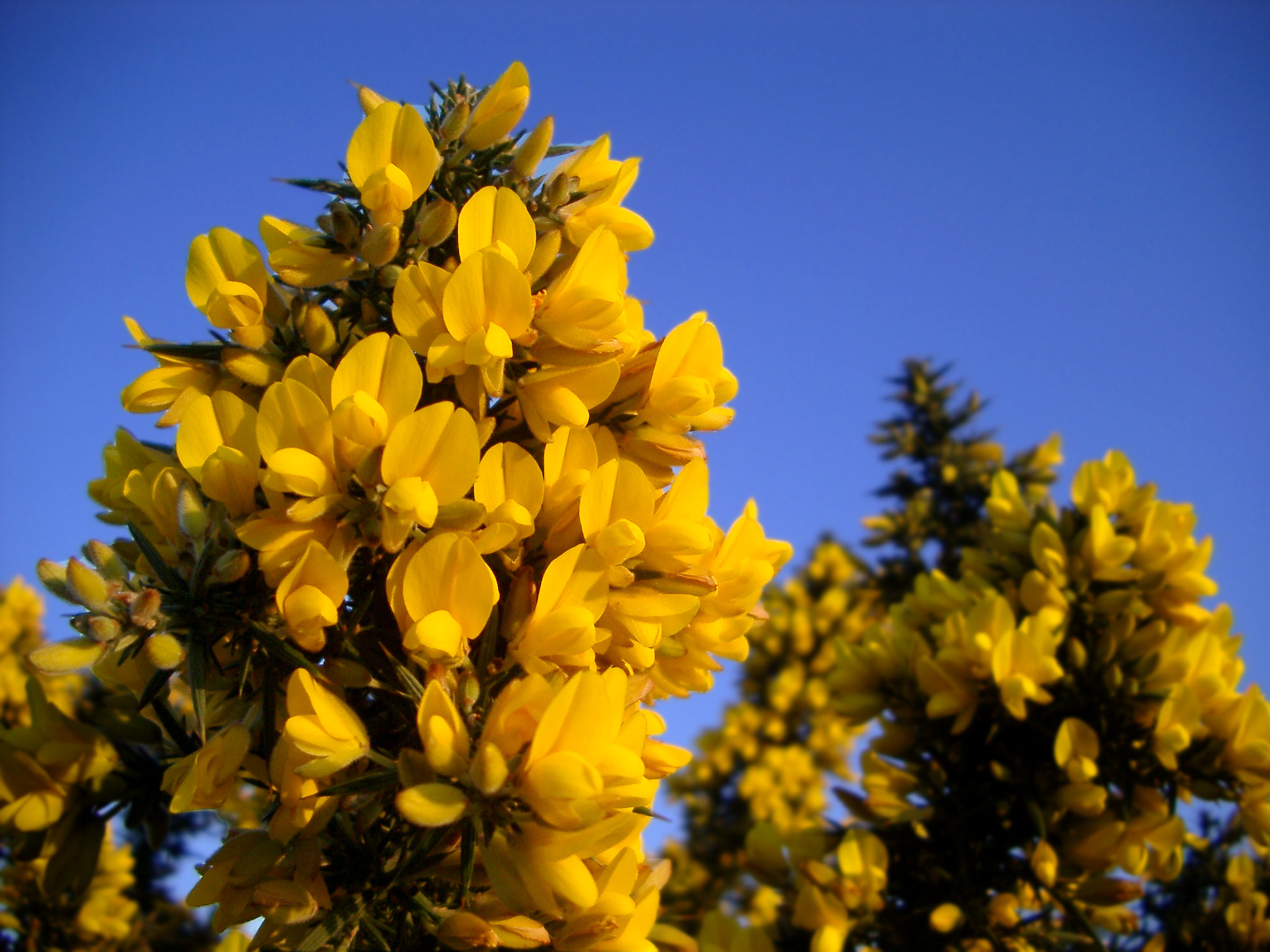 Gorse (Ulex europaeus) growing in the new forest