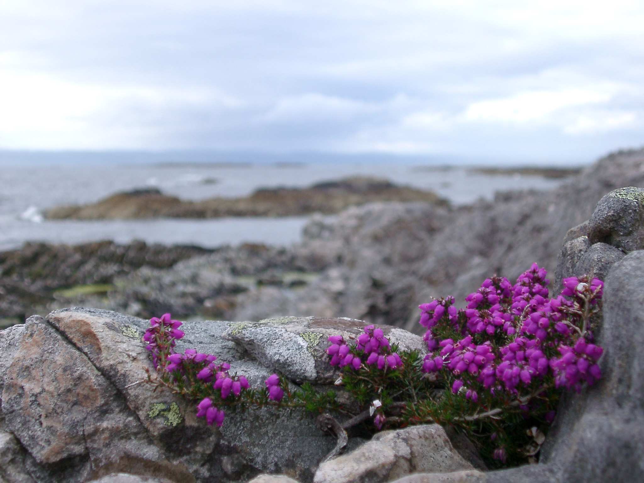Pretty purple coastal heather blooming on rocks in summer near Maillag, Scotland