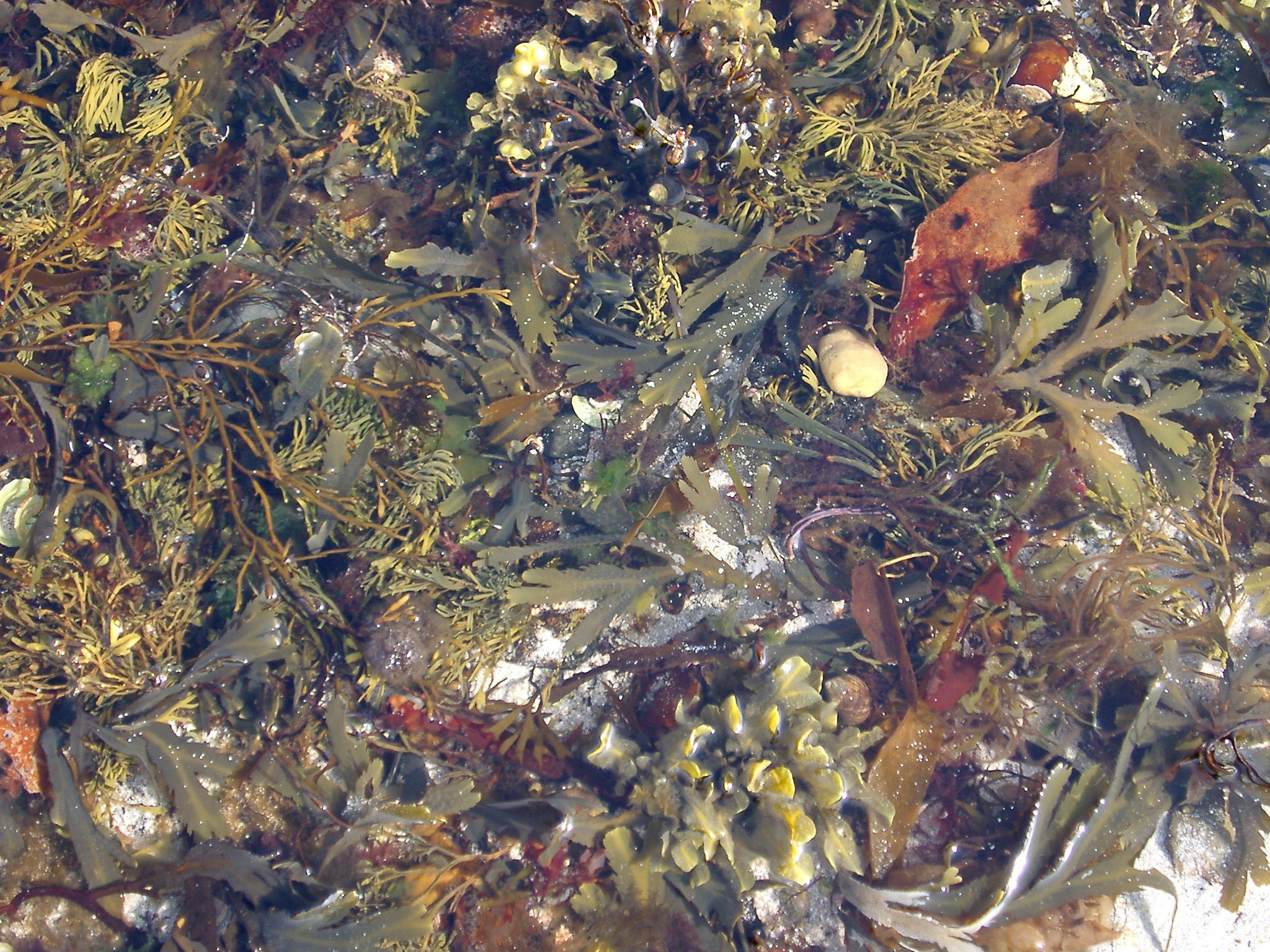 Rock pool with colorful assorted seaweed and seashells in the intertidal zone on the seashore at low tide
