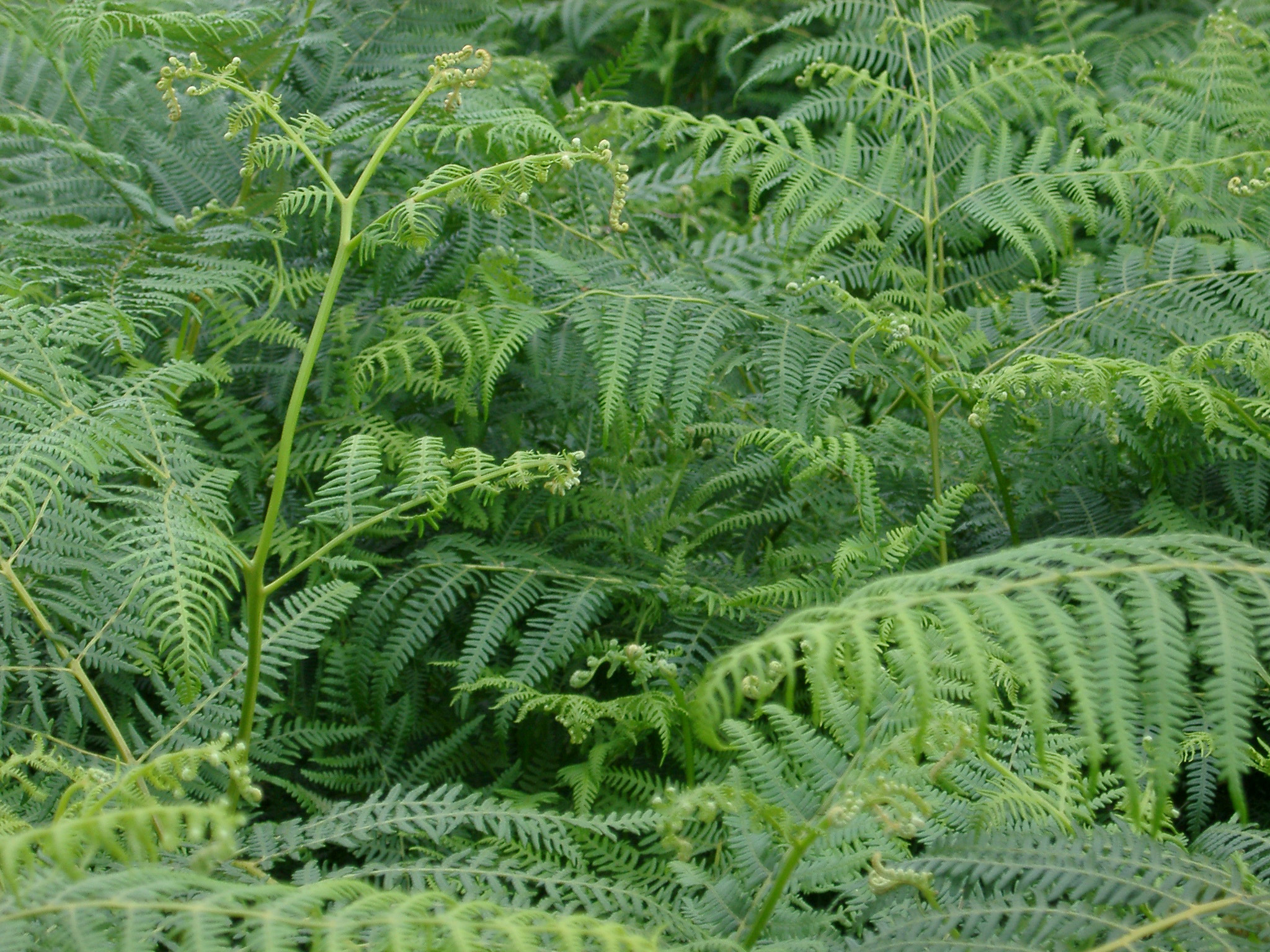 Background texture of fresh green bracken fronds growing in welsh countryside, close up detail of the new growth