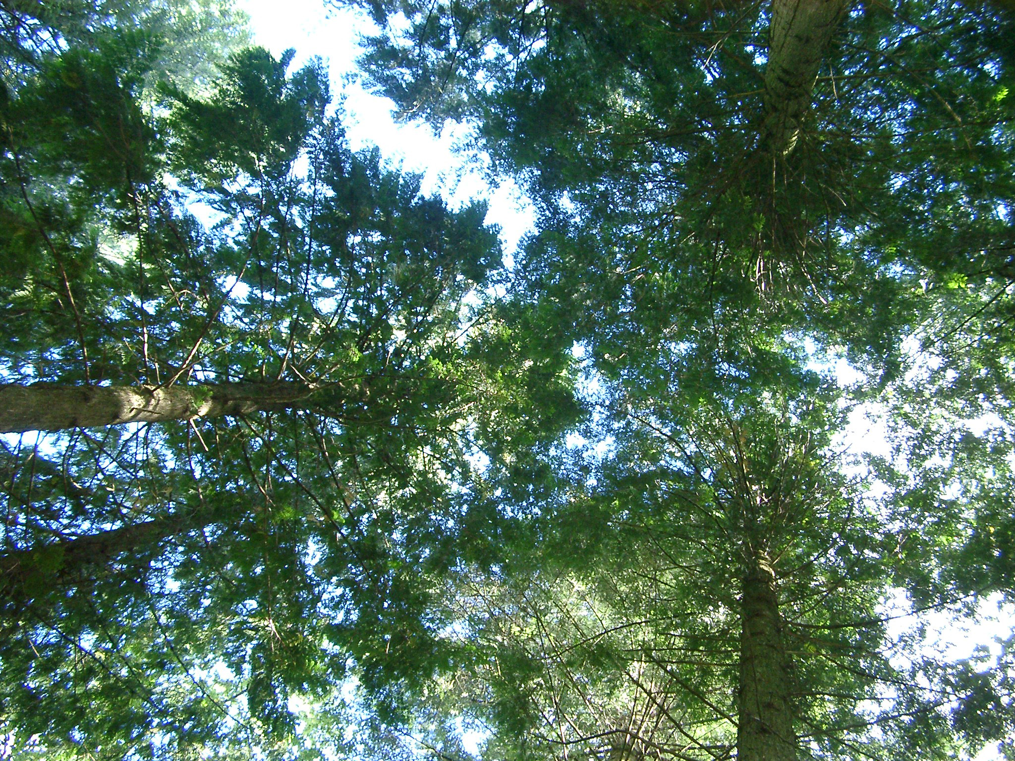 Nature background showing the canopy and branches of a group of leafy green tall trees in a woodland