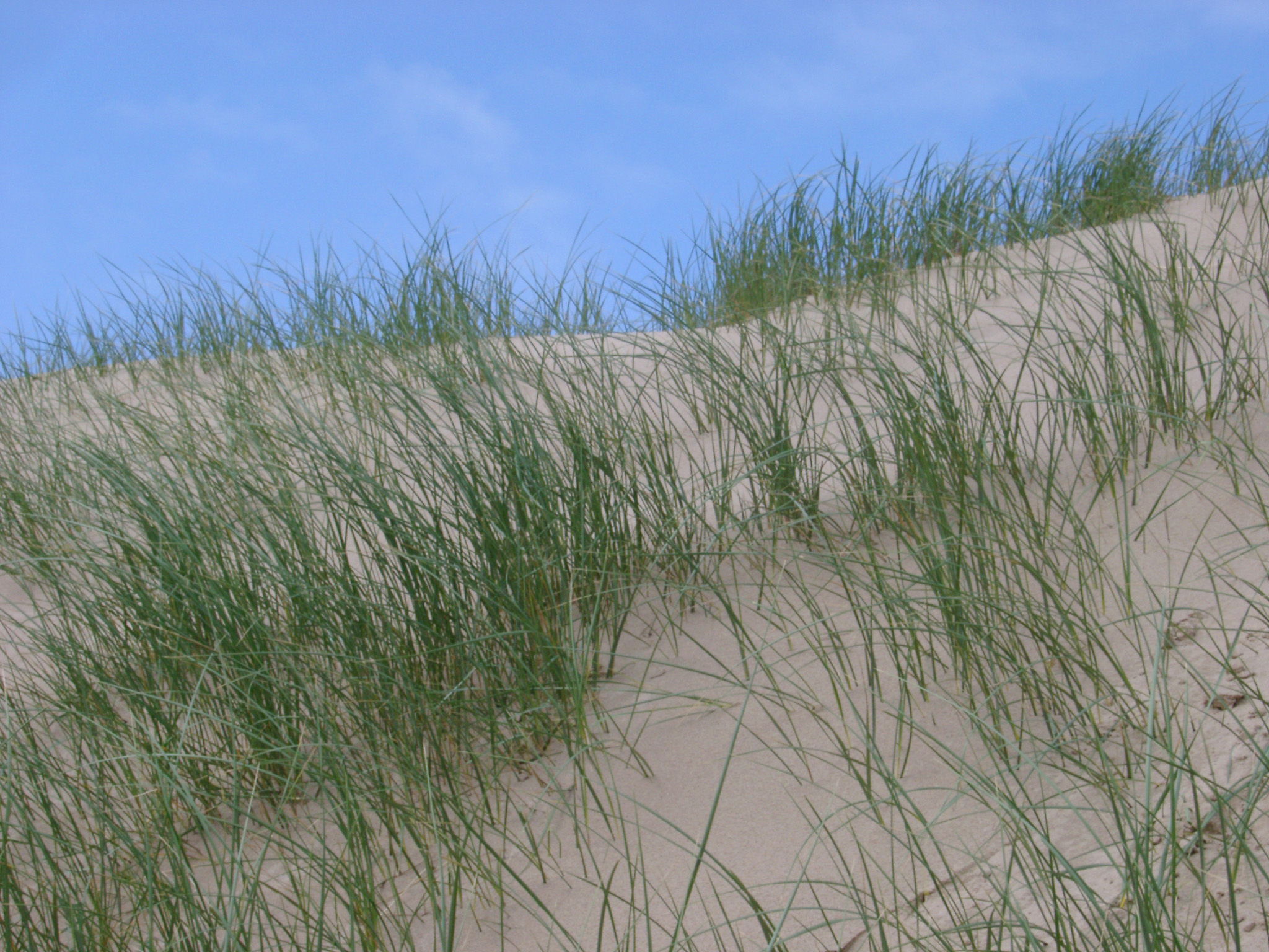 Coastal grasses growing on sand dunes helping to anchor them against the erosion of the wind and forming a unique habitat