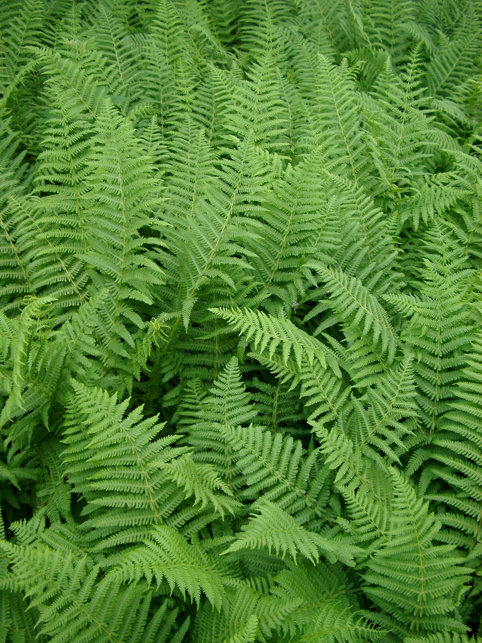 Background texture and natural pattern of lush green bracken leaves or fronds , full frame