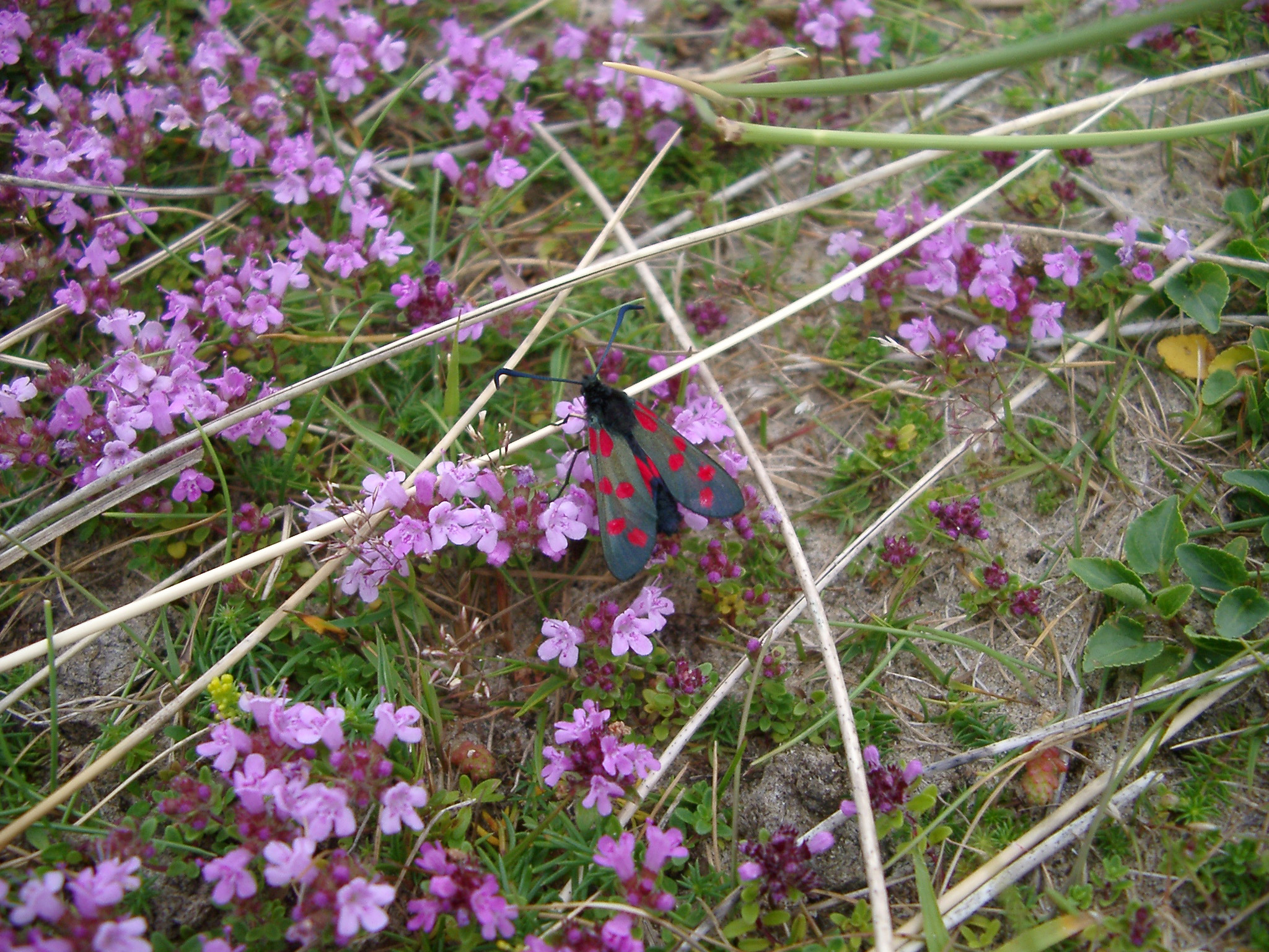 Single Butterfly Insect Resting on Pretty Small Purple Flowers Growing on the Grassy Ground.