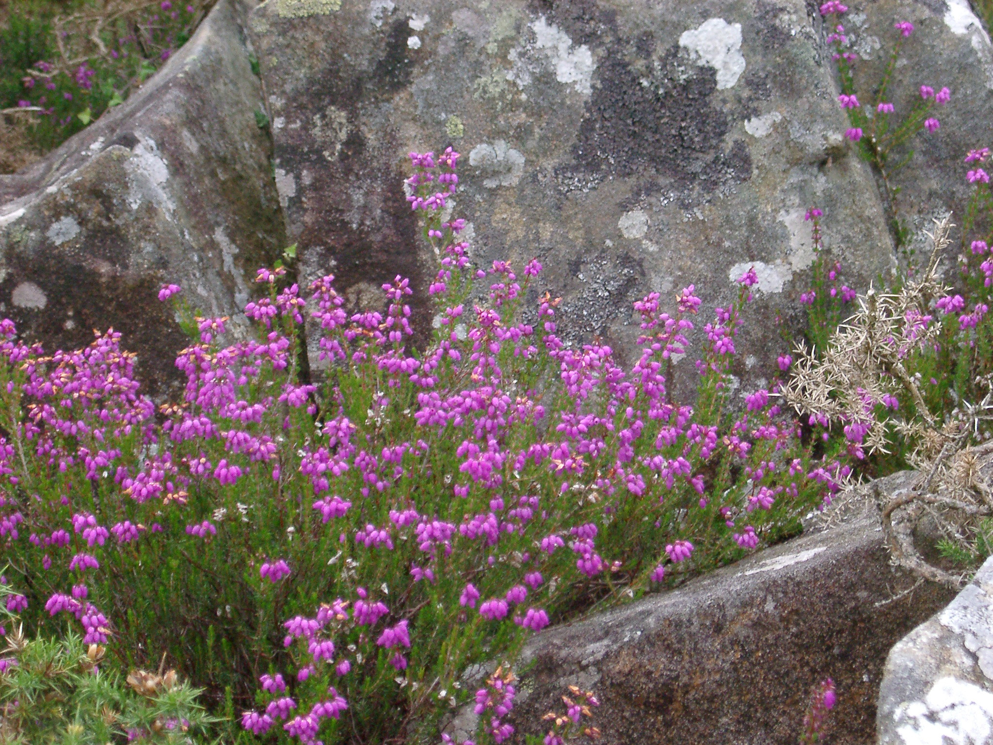 Colorful purple summer heather blooming in a crevasse in lichen covered rocks, close up view