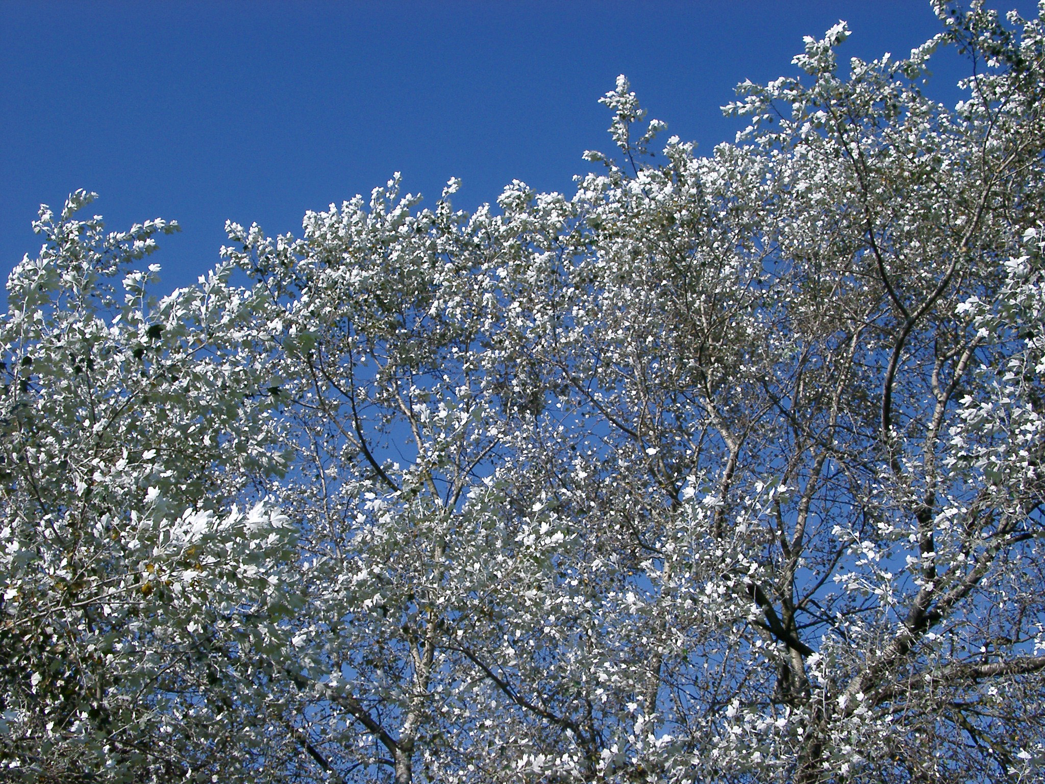 View looking up at the pretty silvery leaves of silver birch trees against a clear sunny blue sky in a nature background