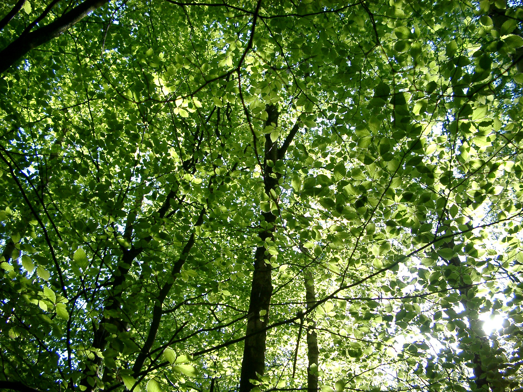 Fresh Tall Green Trees in the Forest on a Sunny Day. Captured from Low Level Angle Point.