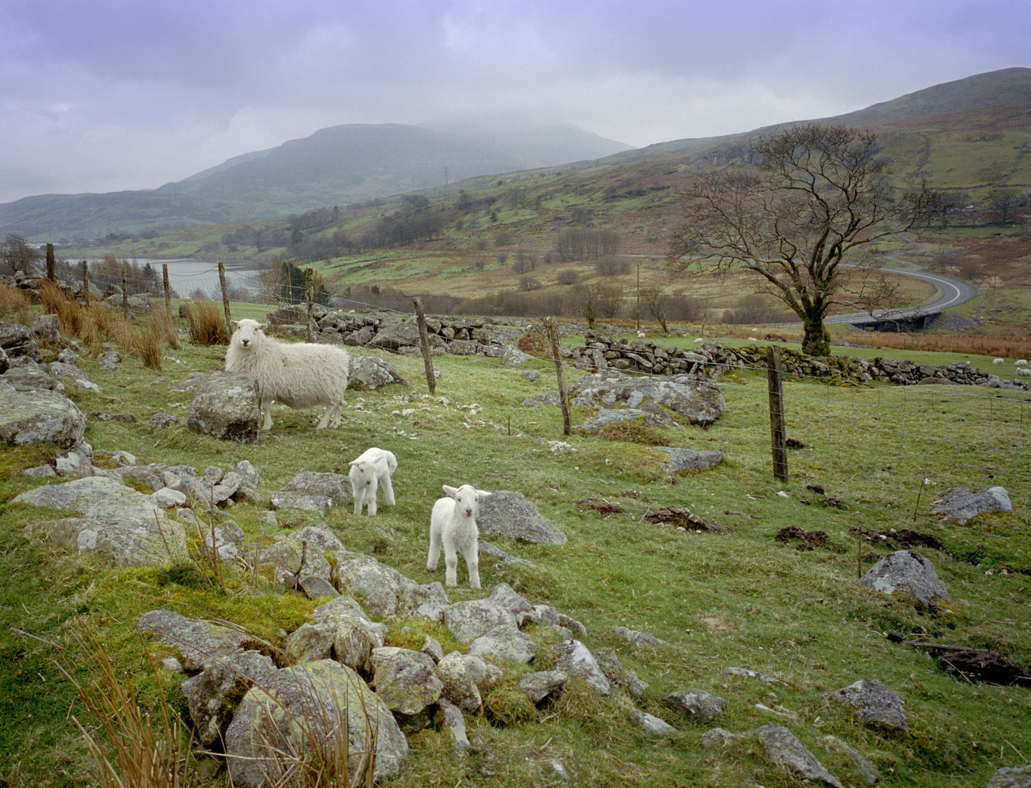 Welsh Sheep and Lambs on Hillside Farmland on Overcast Day