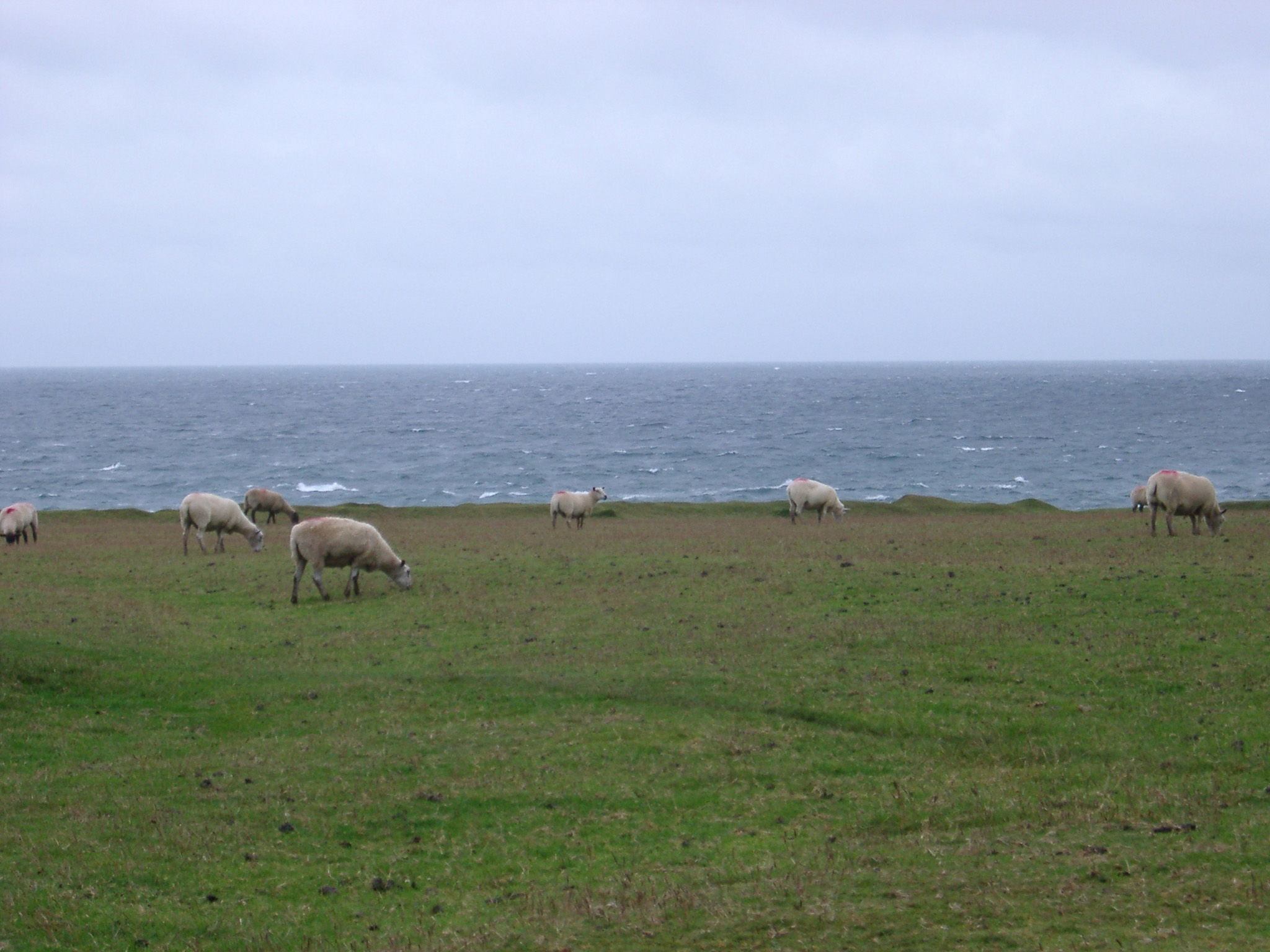 Flock of sheep grazing in a windswept coastal pasture overlooking a choppy ocean on a grey overcast day
