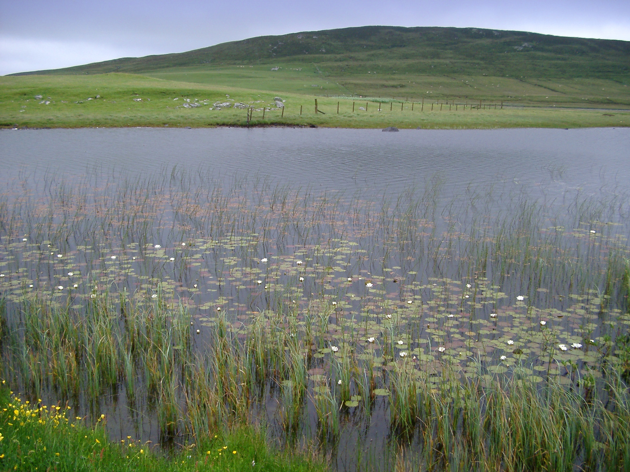 Marsh on the edge of a loch in Scotland with coastal grass and water lilies providing a unique natural habitat, scenic landscape view