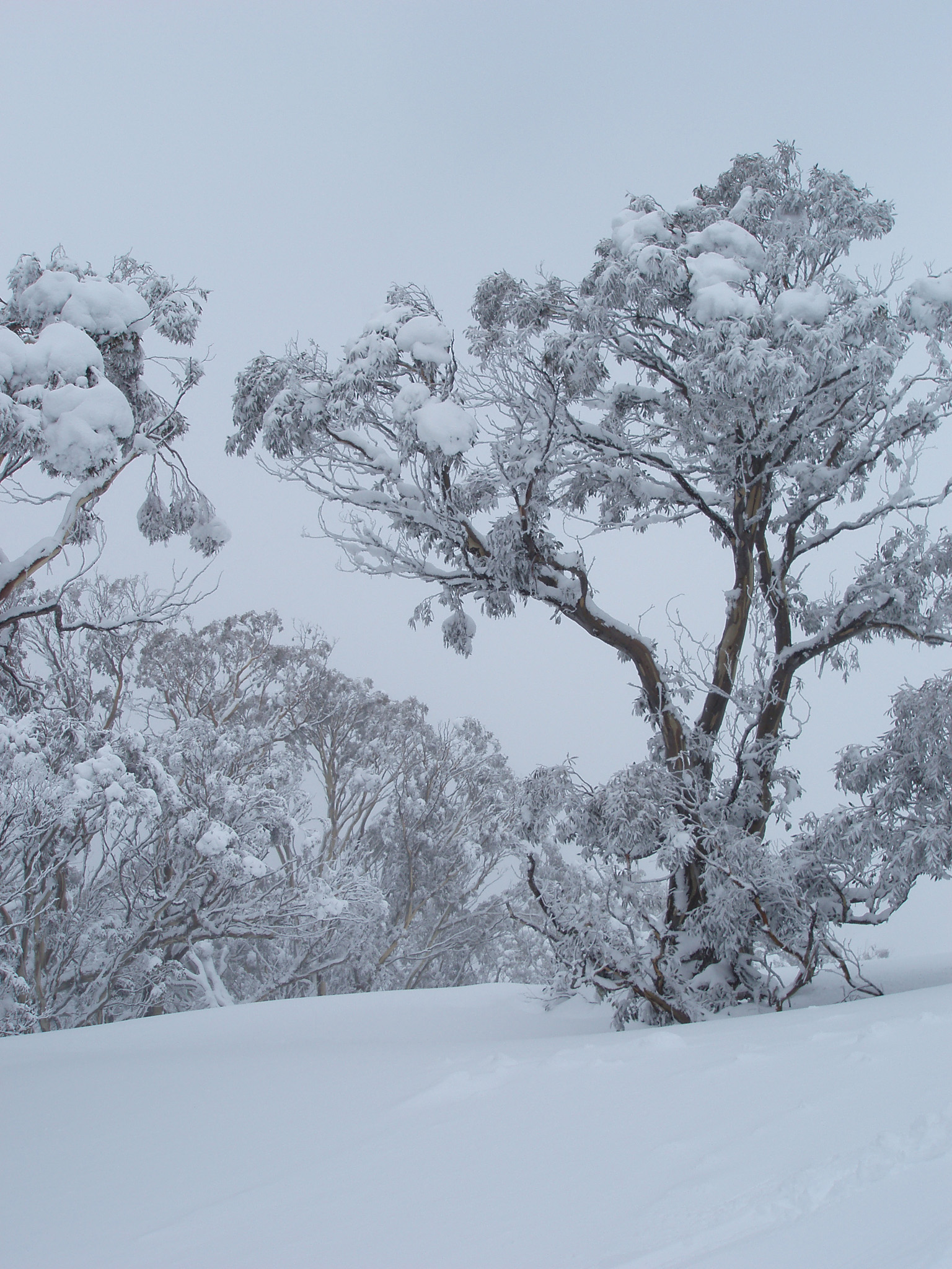 Beautiful Scenery of Winter Snow Gum Australia with Tall Trees Filled with Snow.