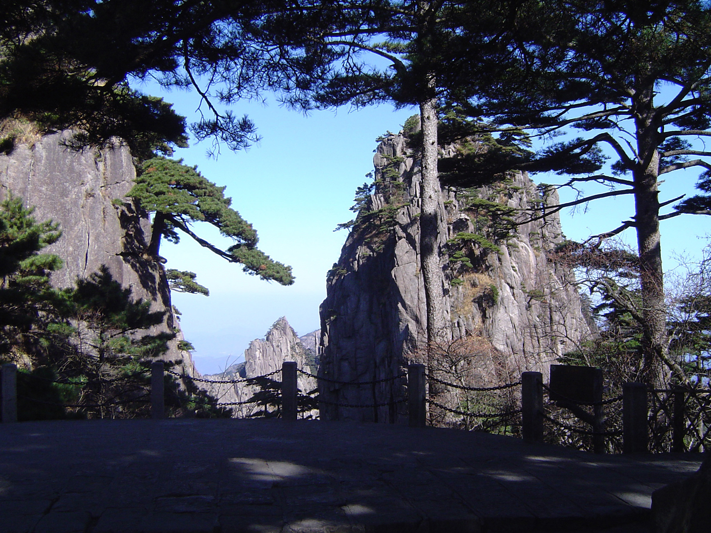 Pine trees in the Yellow Mountains, or Huangshan mountain range, in China with outcrops of towering rock in a scenic landscape