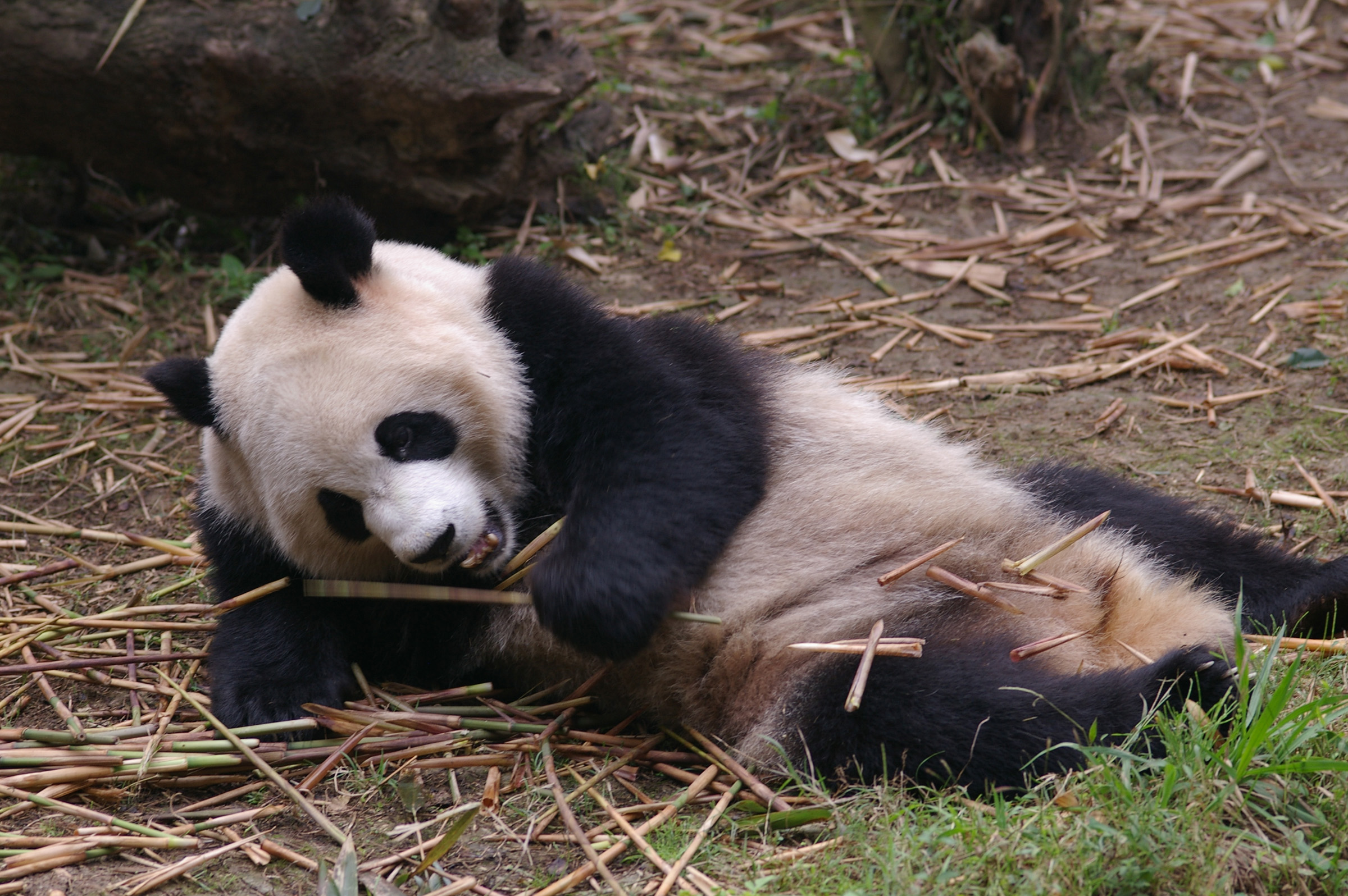Close up Black and White Panda Animal Resting at the Zoo While Eating Bamboo Shoots.