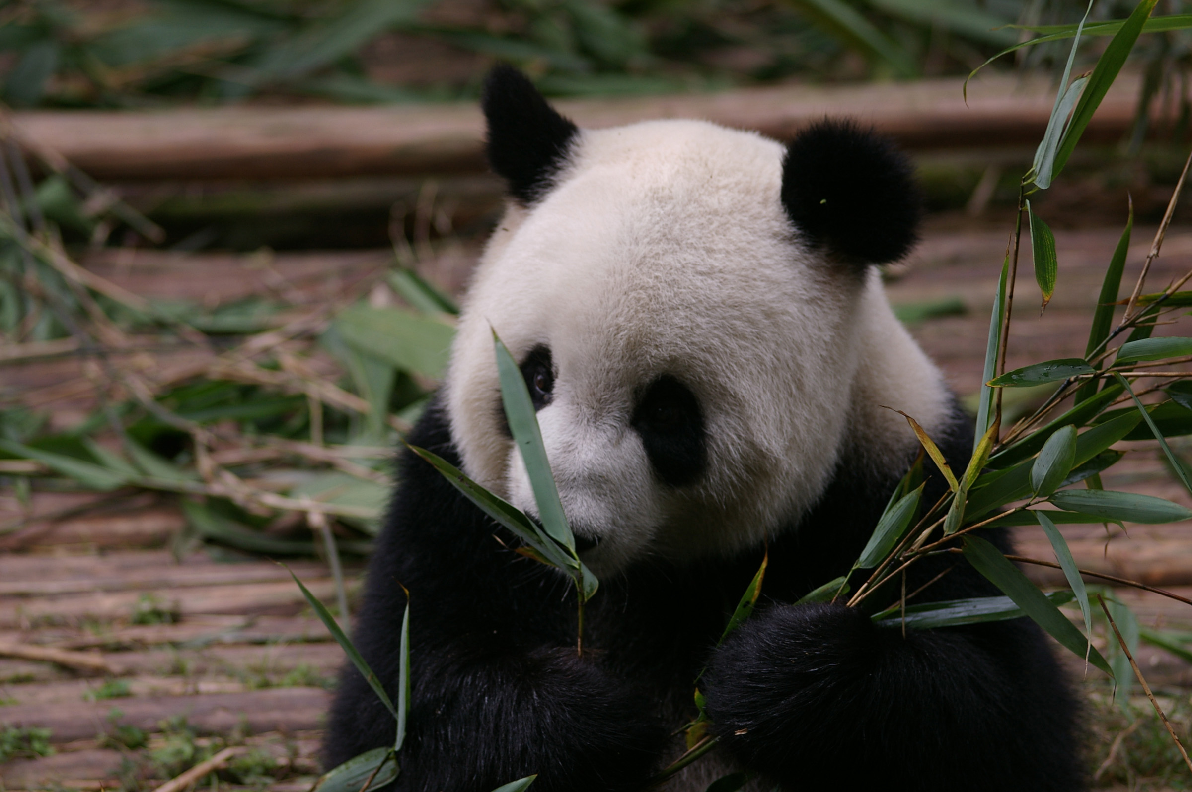 China Animal Wildlife - Close up Black and White Panda Eating Bamboo Shoots at the Zoo.