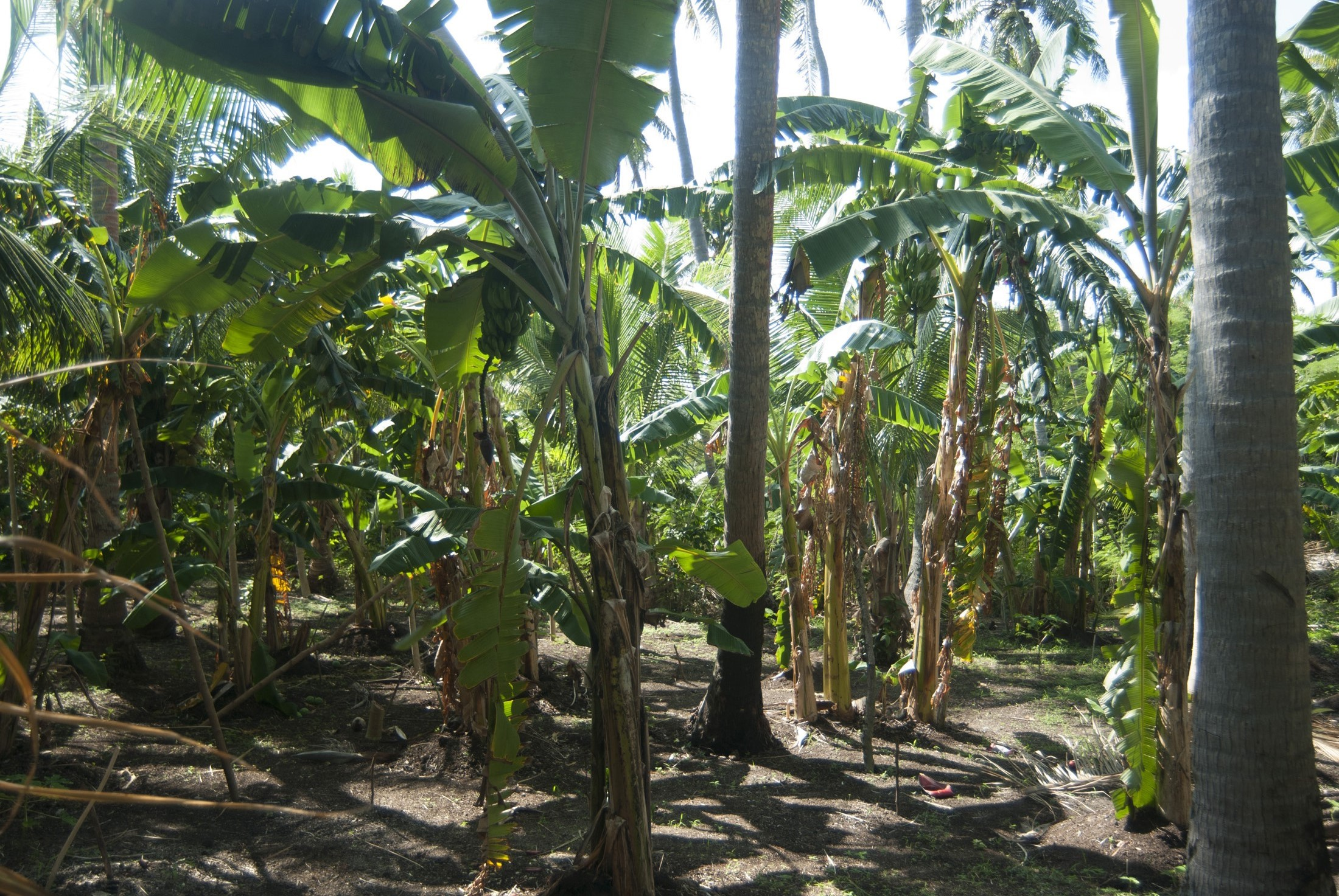 Banana palm plantation in Fiji cultivating fresh fruit on a farm for the global market