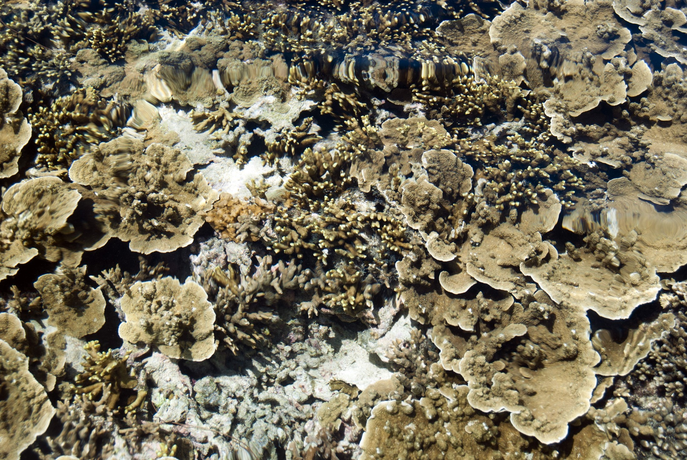 View of a coral reef in shallow water off Fiji with sponges, coral and other marine life