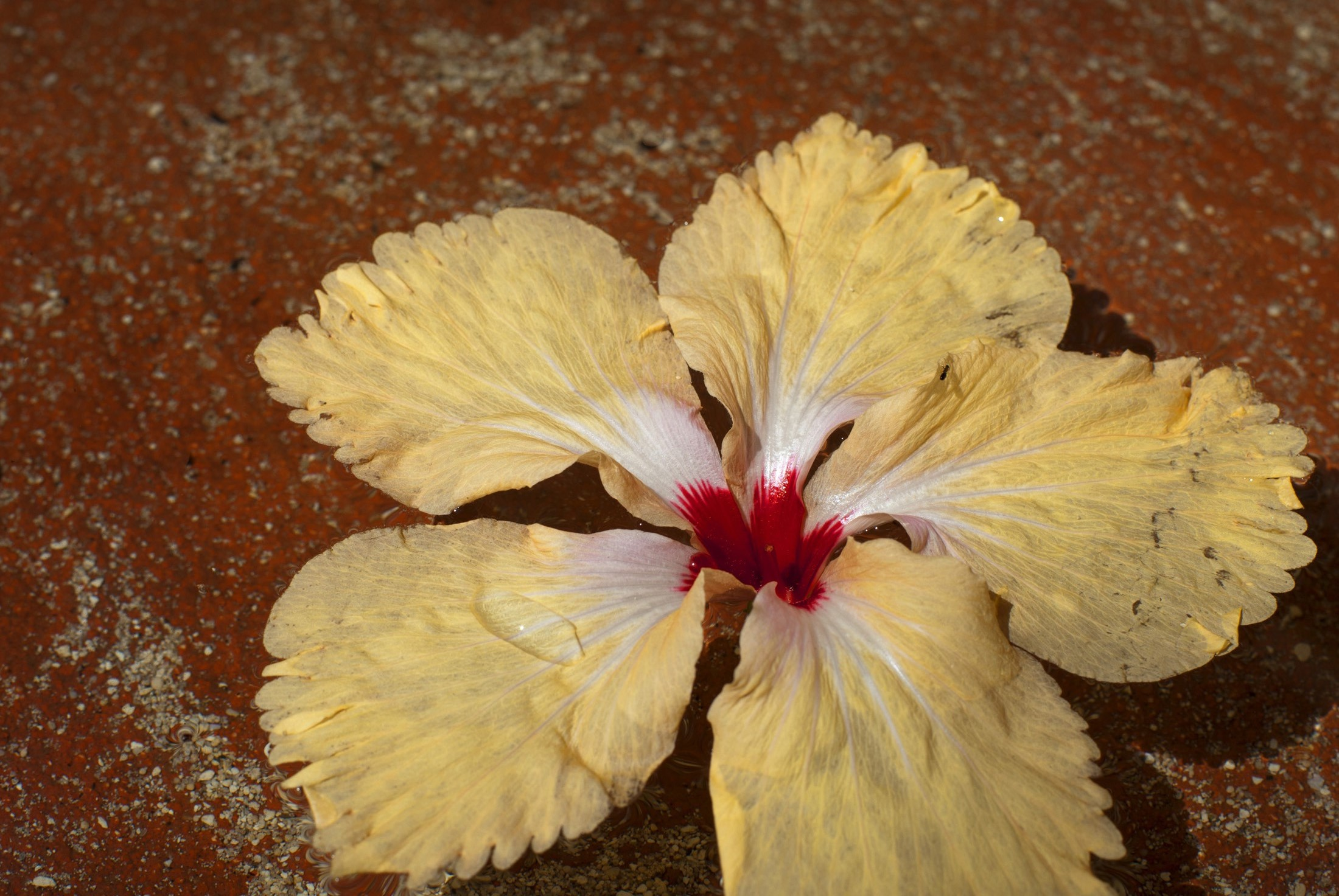 Single yellow hibiscus flower, cultivated for its showy tropical blooms, lying in a foot spa