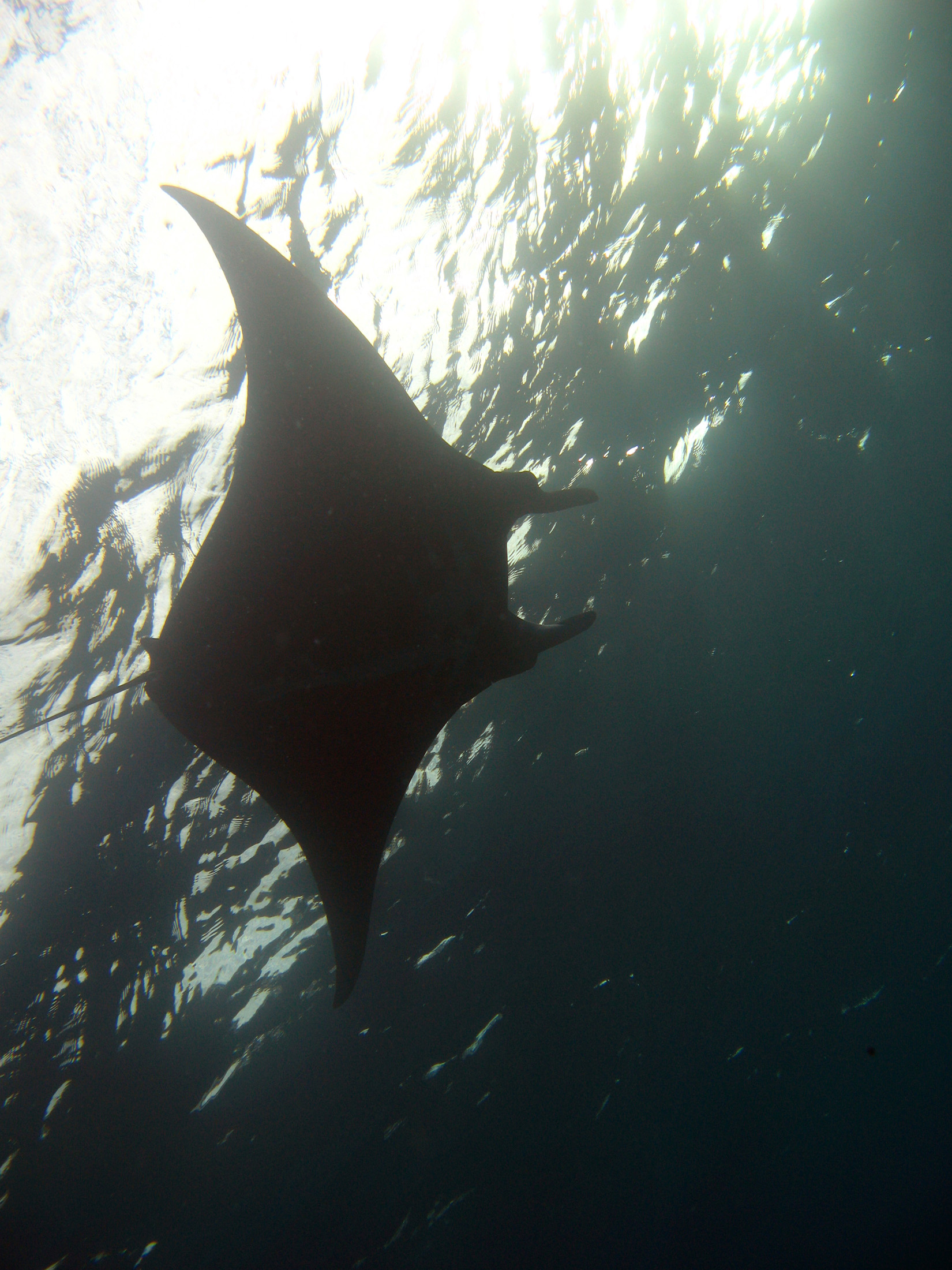 Large Manta ray swimming overhead in the ocean as it goes on its way feeding on plankton
