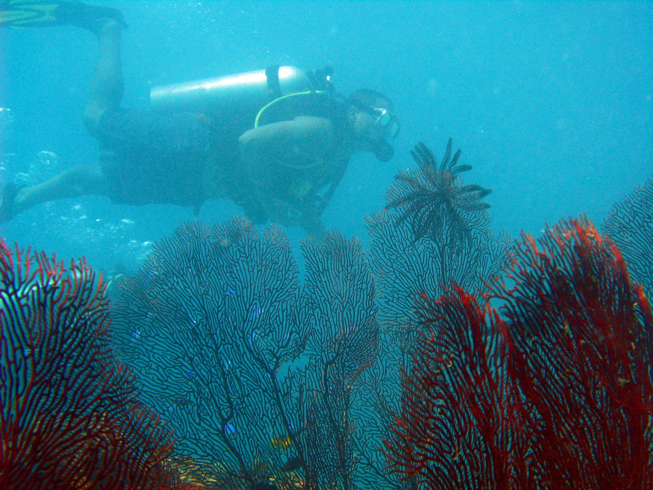 Underwater view of large intricate fan corals with a scuba diver swimming past behind them