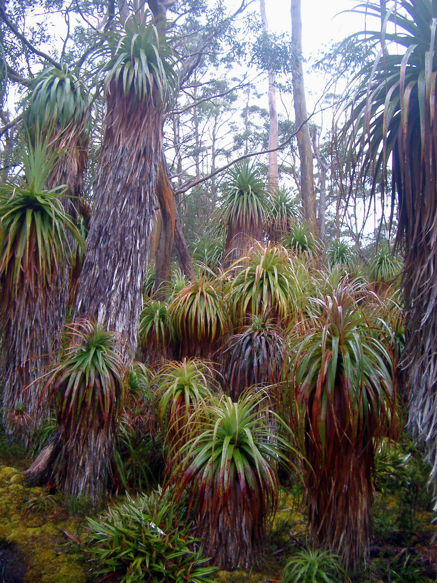 Lush plantation of tropical plants and cycads in woodland on the overland trail in Tasmania
