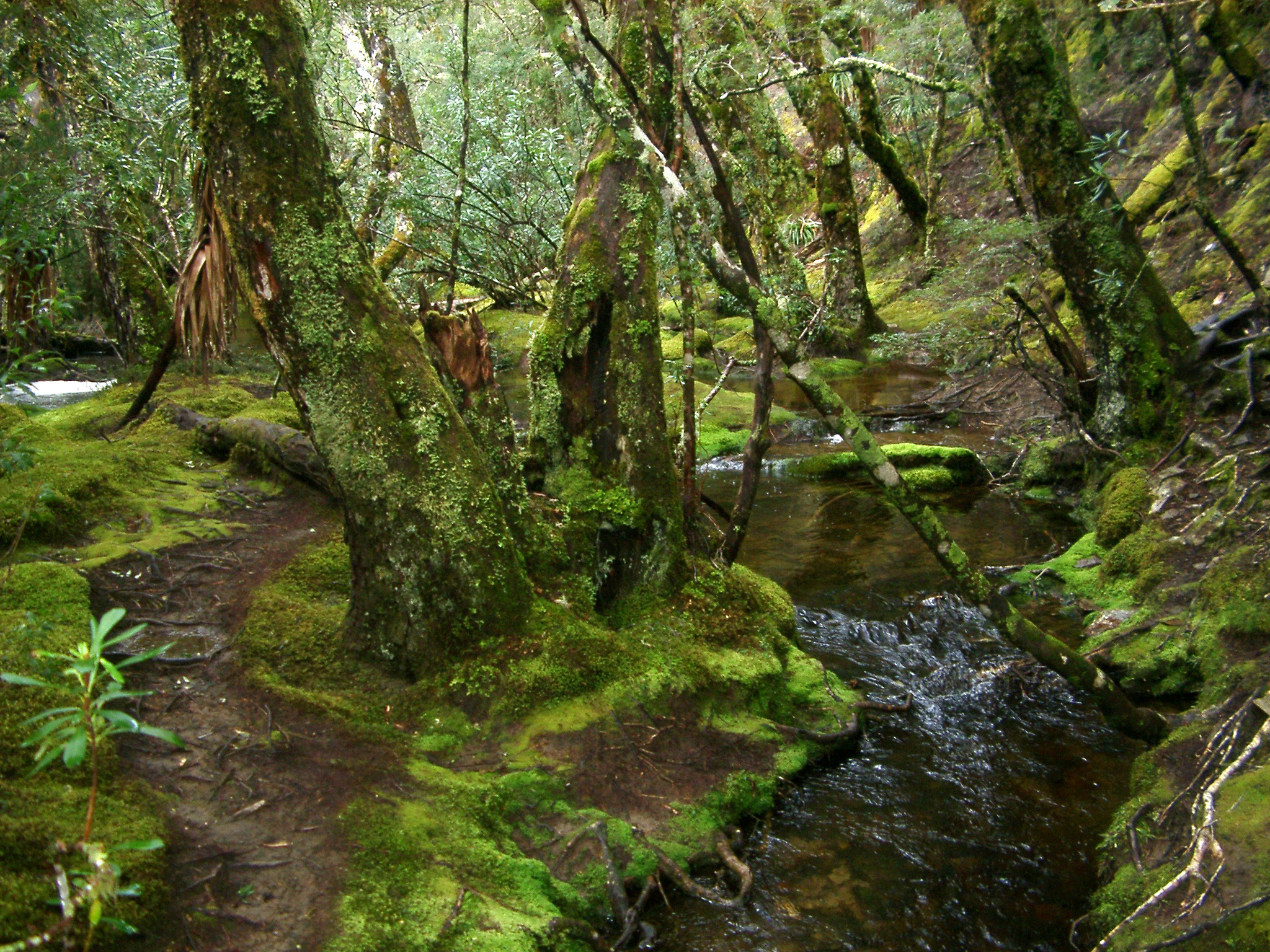Woodland glade with a mossy river flowing between lichen covered trees in a lush natural background landscape