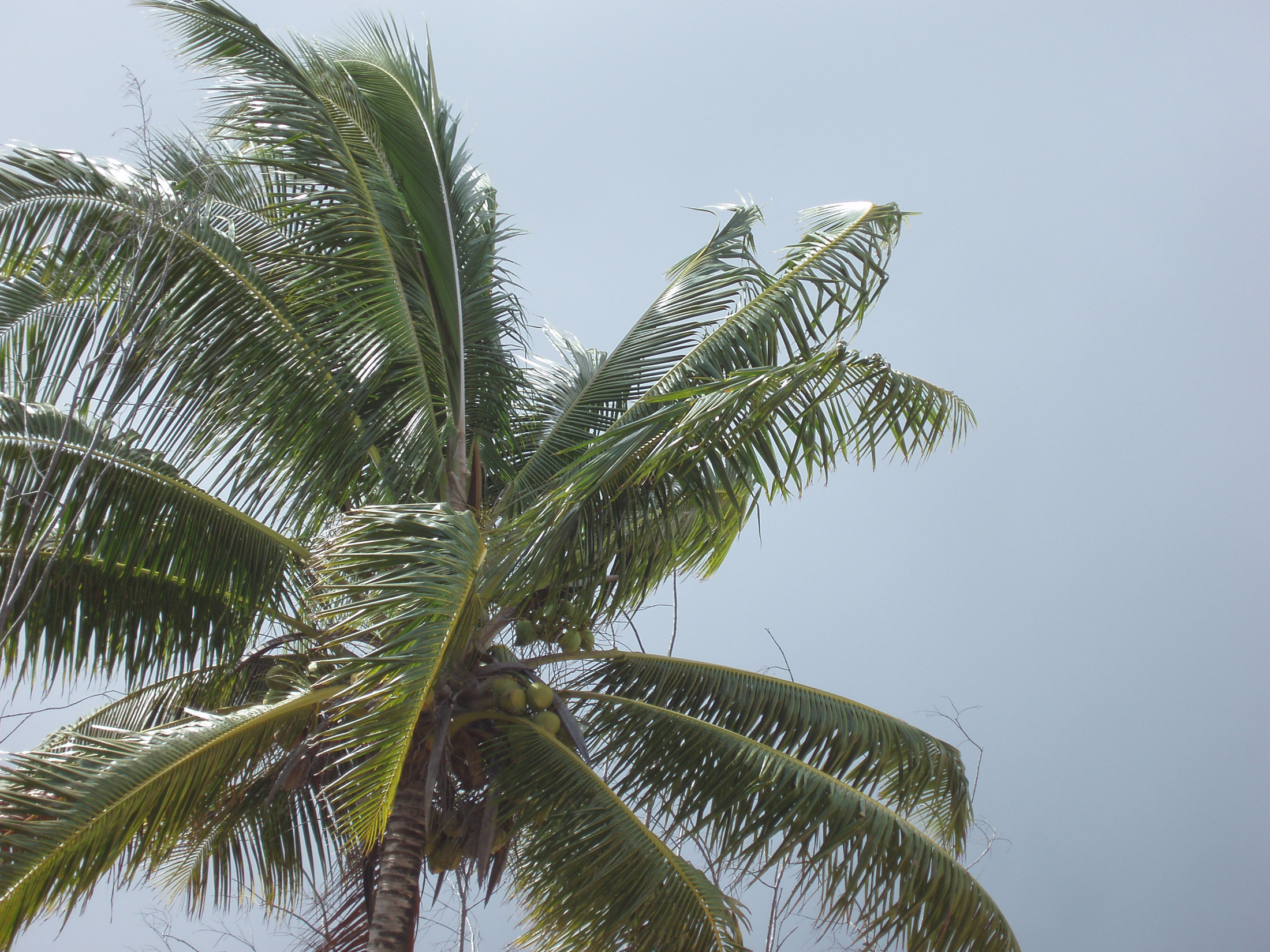 close up at a palm tree bearing coconuts