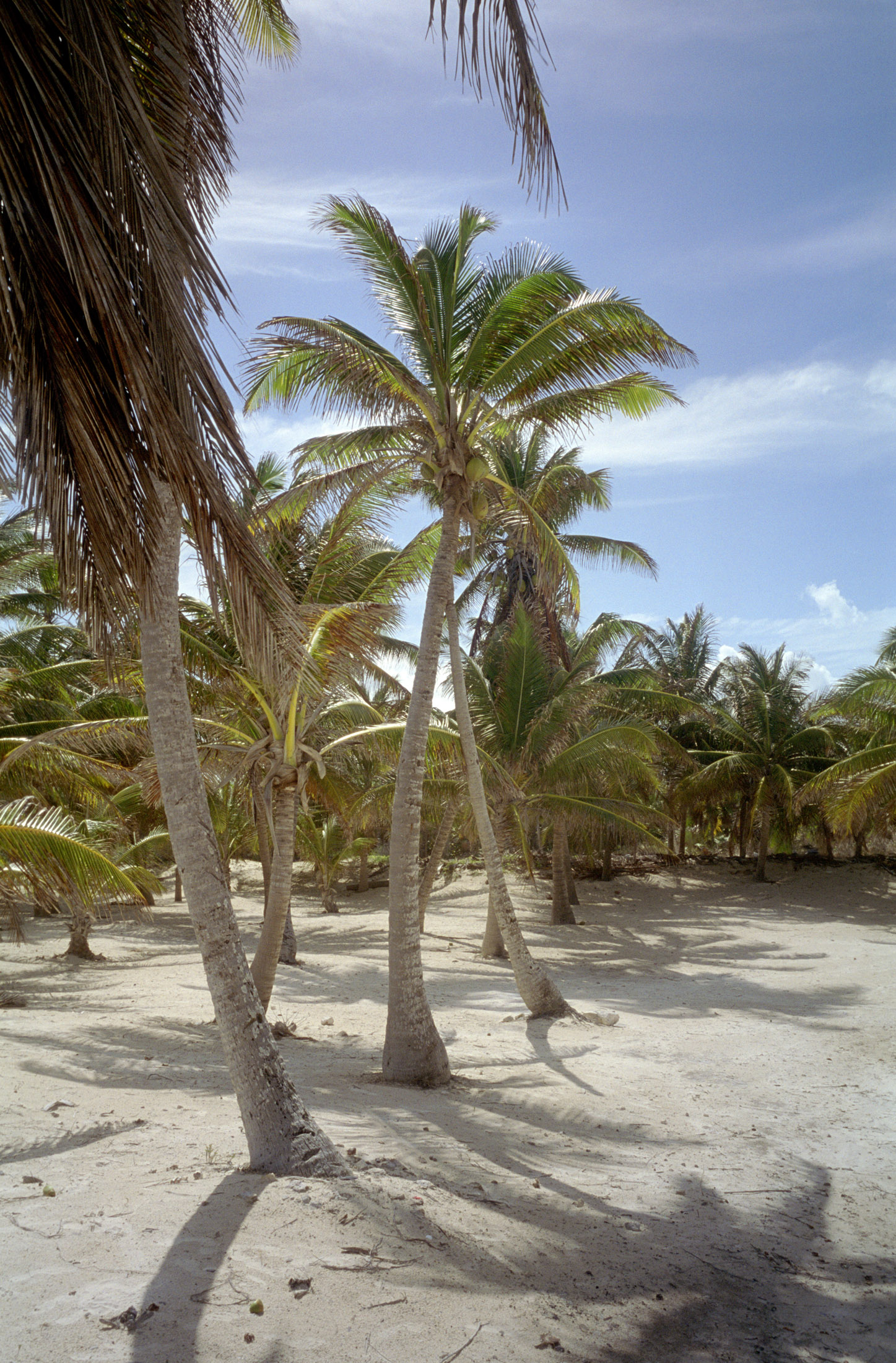 grove of palm trees in mexico on coral white sand