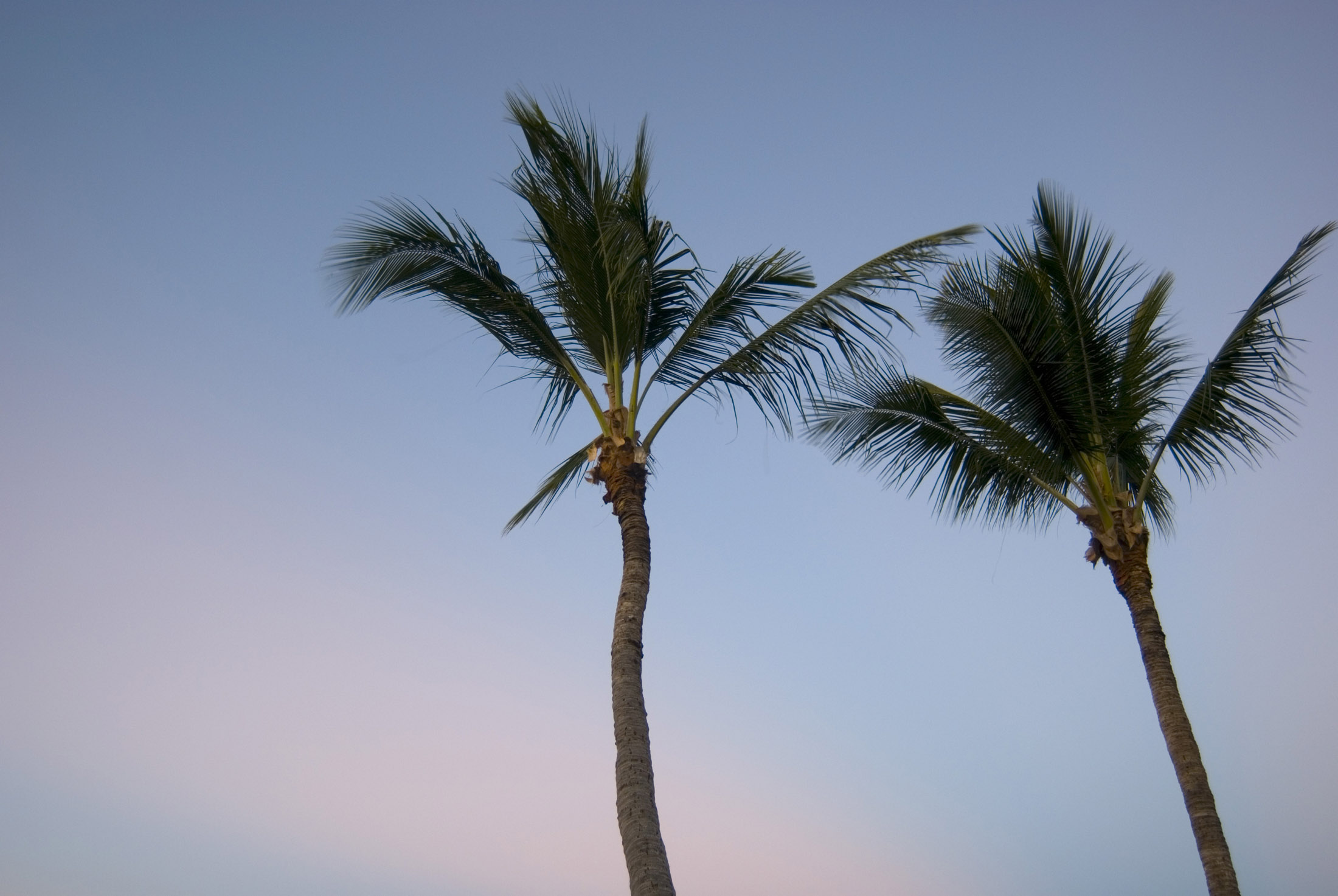 tall palm trees at sunset