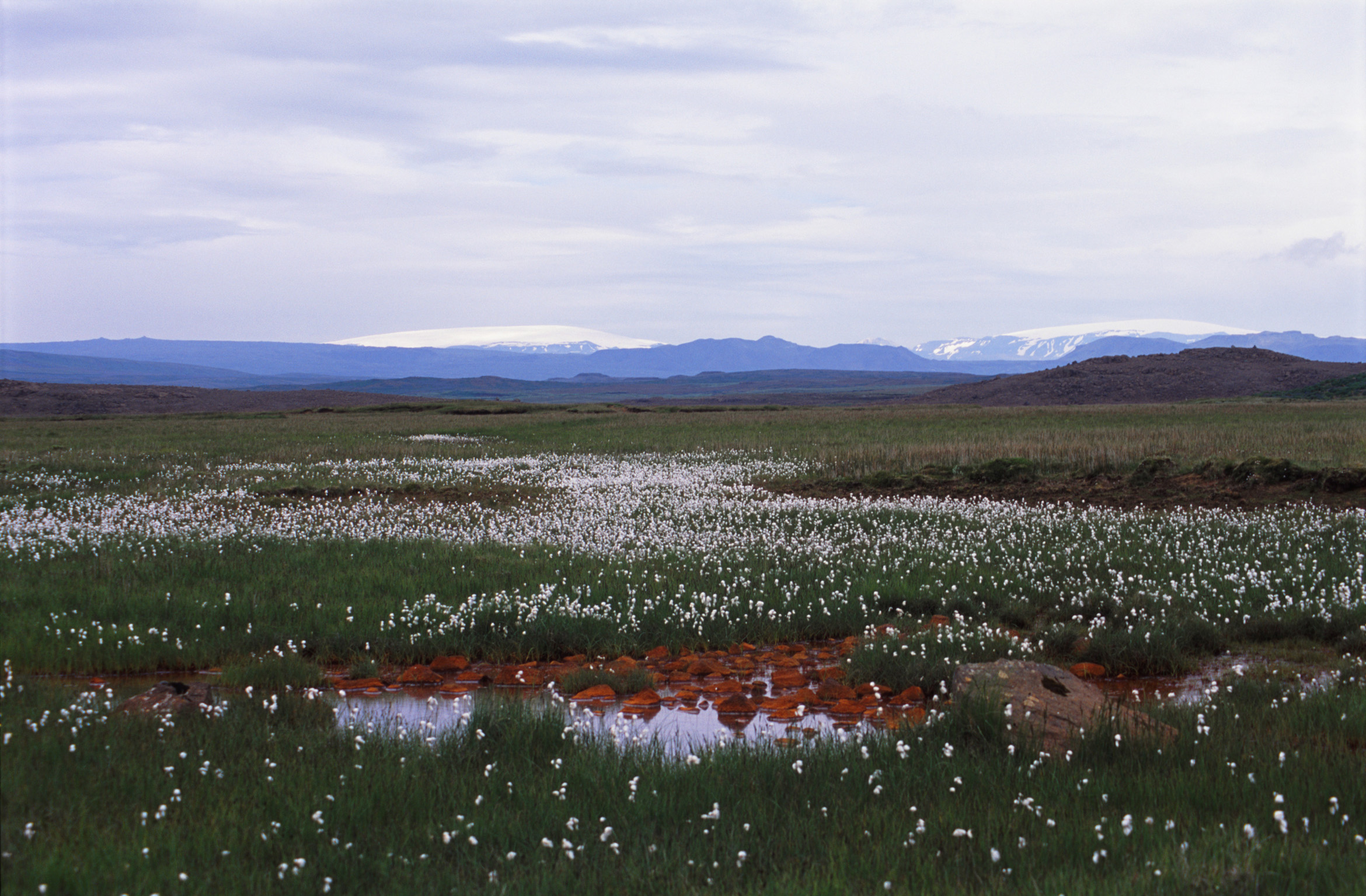 Icelandic flax growing on a remote plateau in the mountains from which linseed oil and flax fiber are obtained