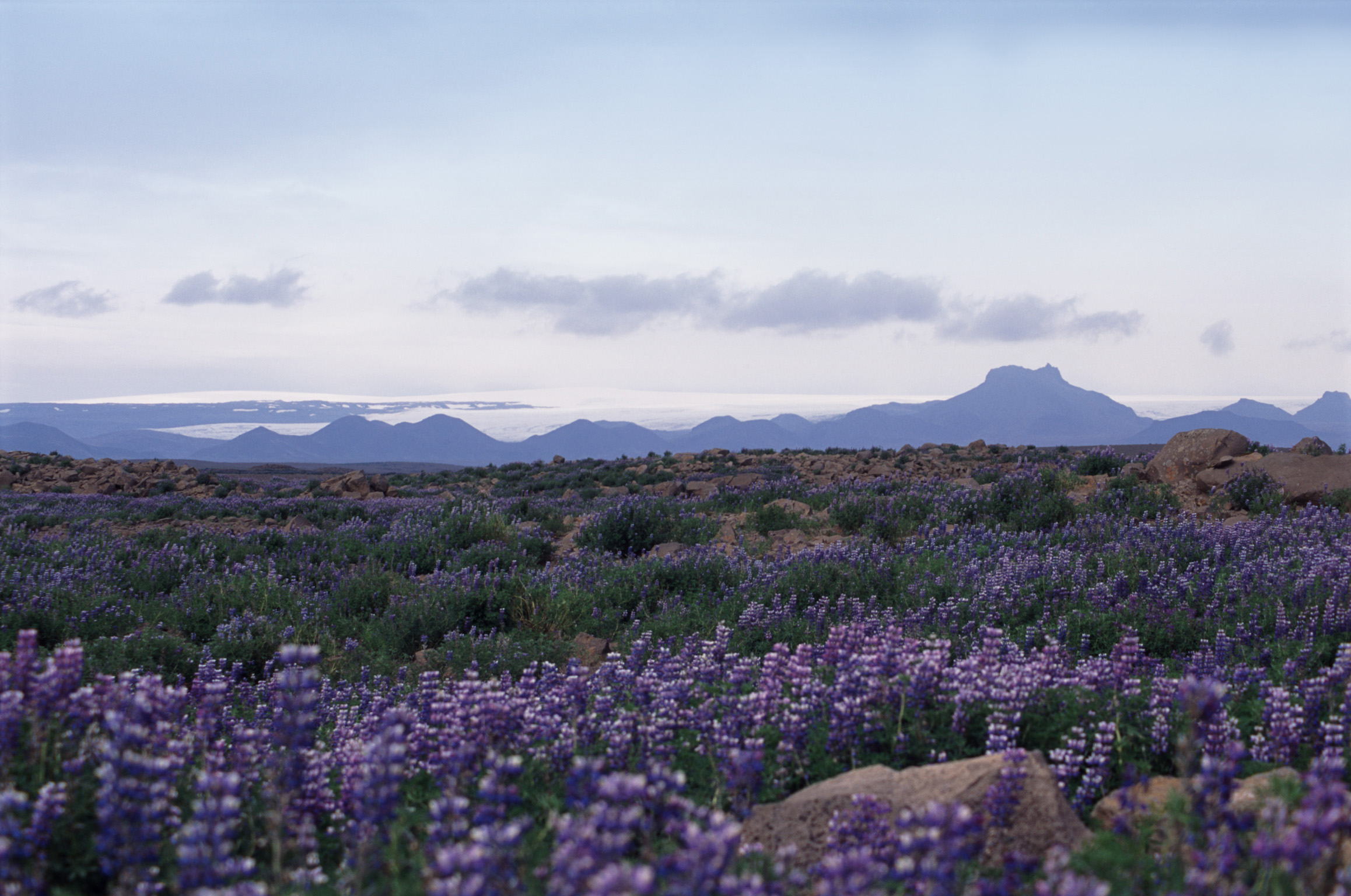 Iceland panorama with a scenic landscape of blue lupins growing in a meadow with distant volcanic moutain ranges