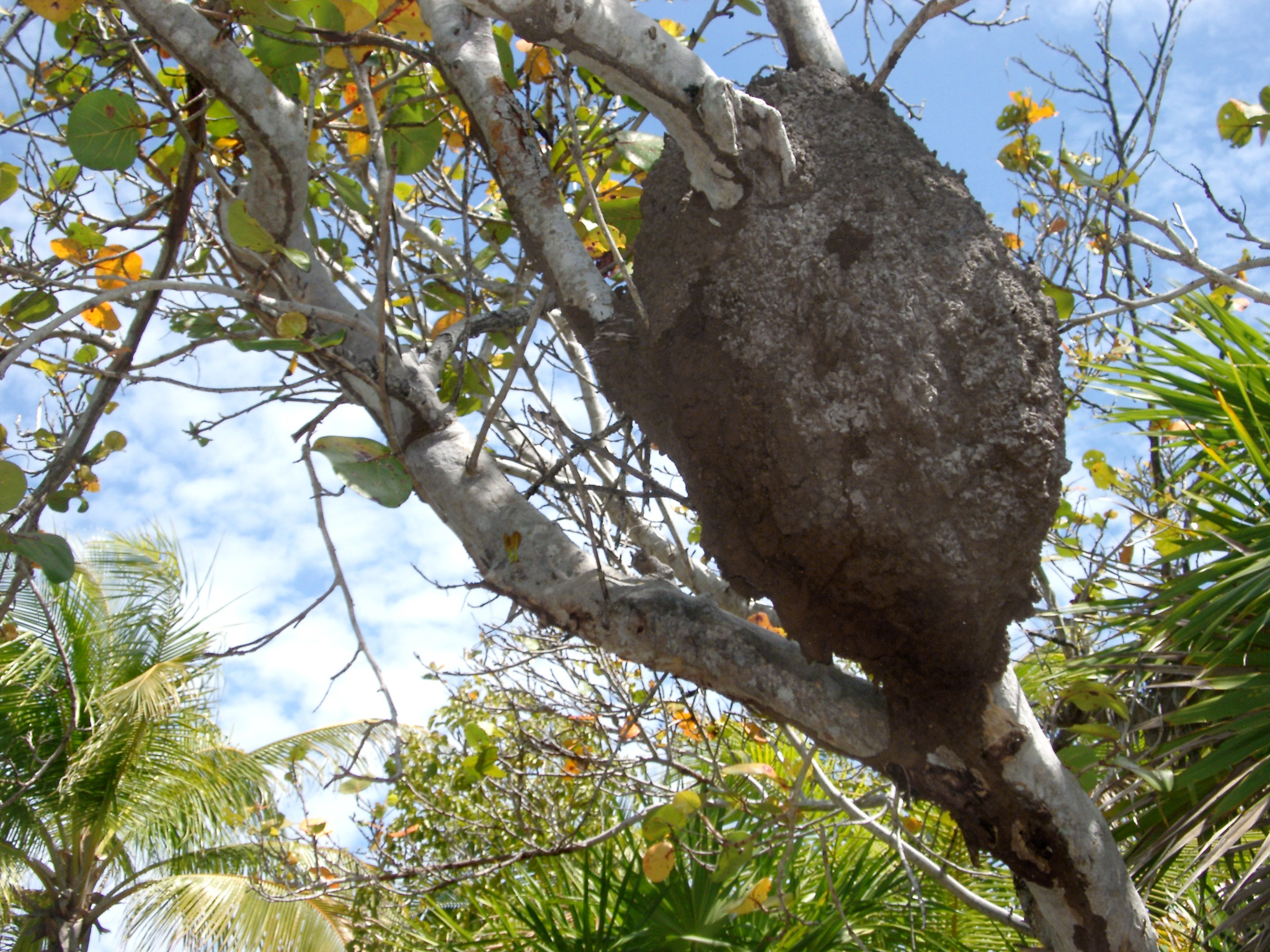 Large mud structure of a termite nest in a tree in the jungle in Mexico