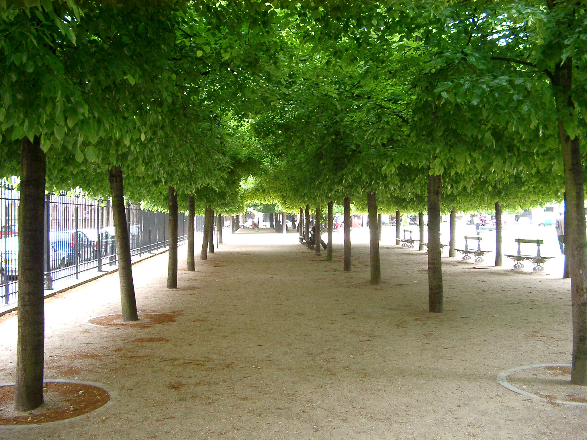 Avenue of neatly manicured and pruned green trees in Paris lining a walkway in park, receding perspective
