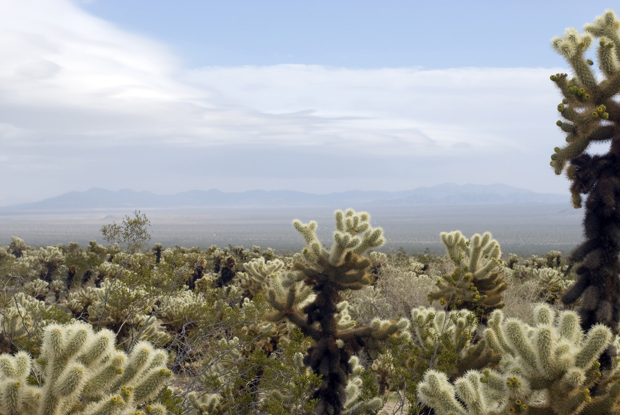 Various Cactus Plants at Cholla Cactus Garden. Isolated on Lighter Blue and White Sky Background.
