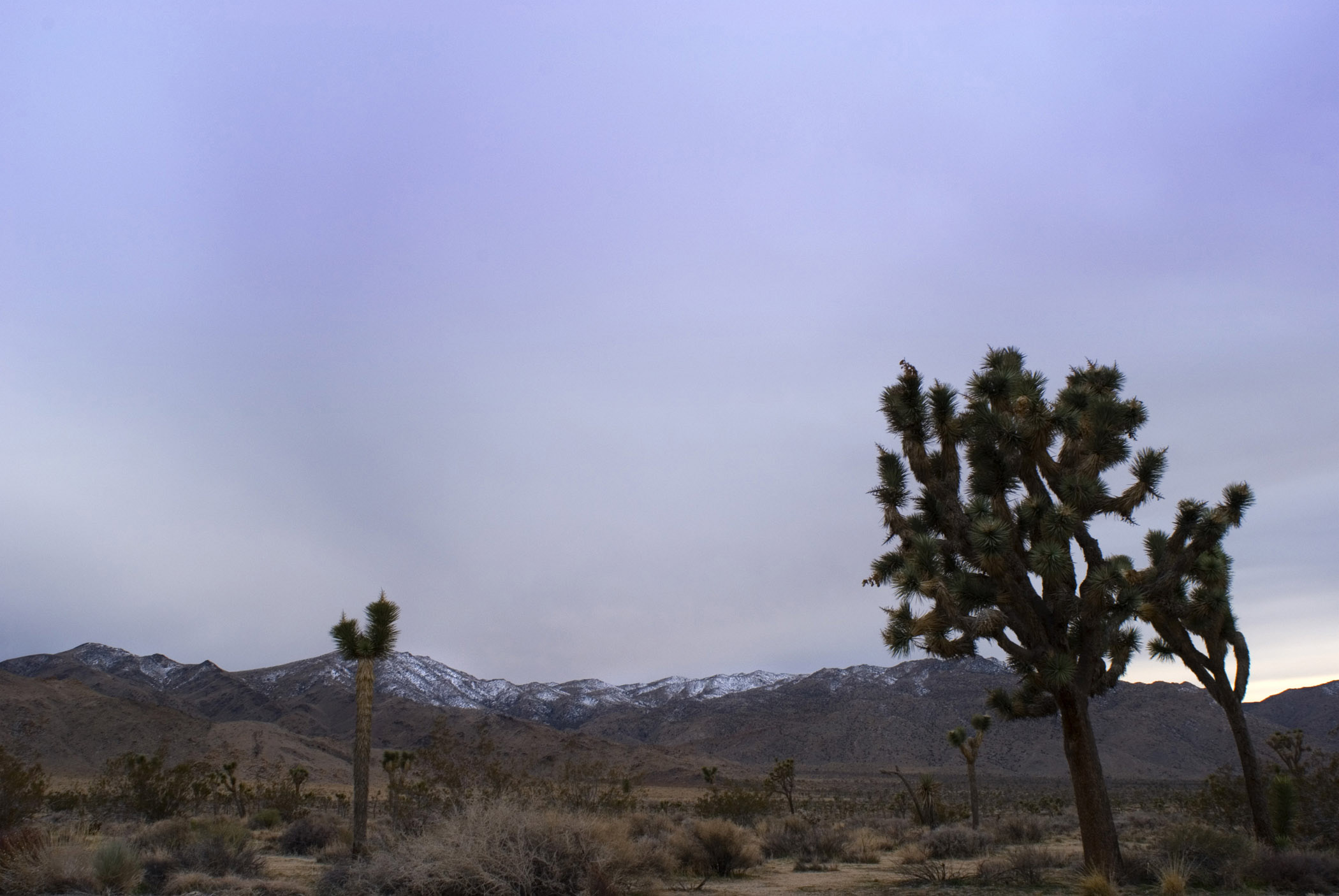 Trees and Grasses at Joshua Tree National Park in Extensive View. Isolated on Lighter Blue Violet Sky Background.