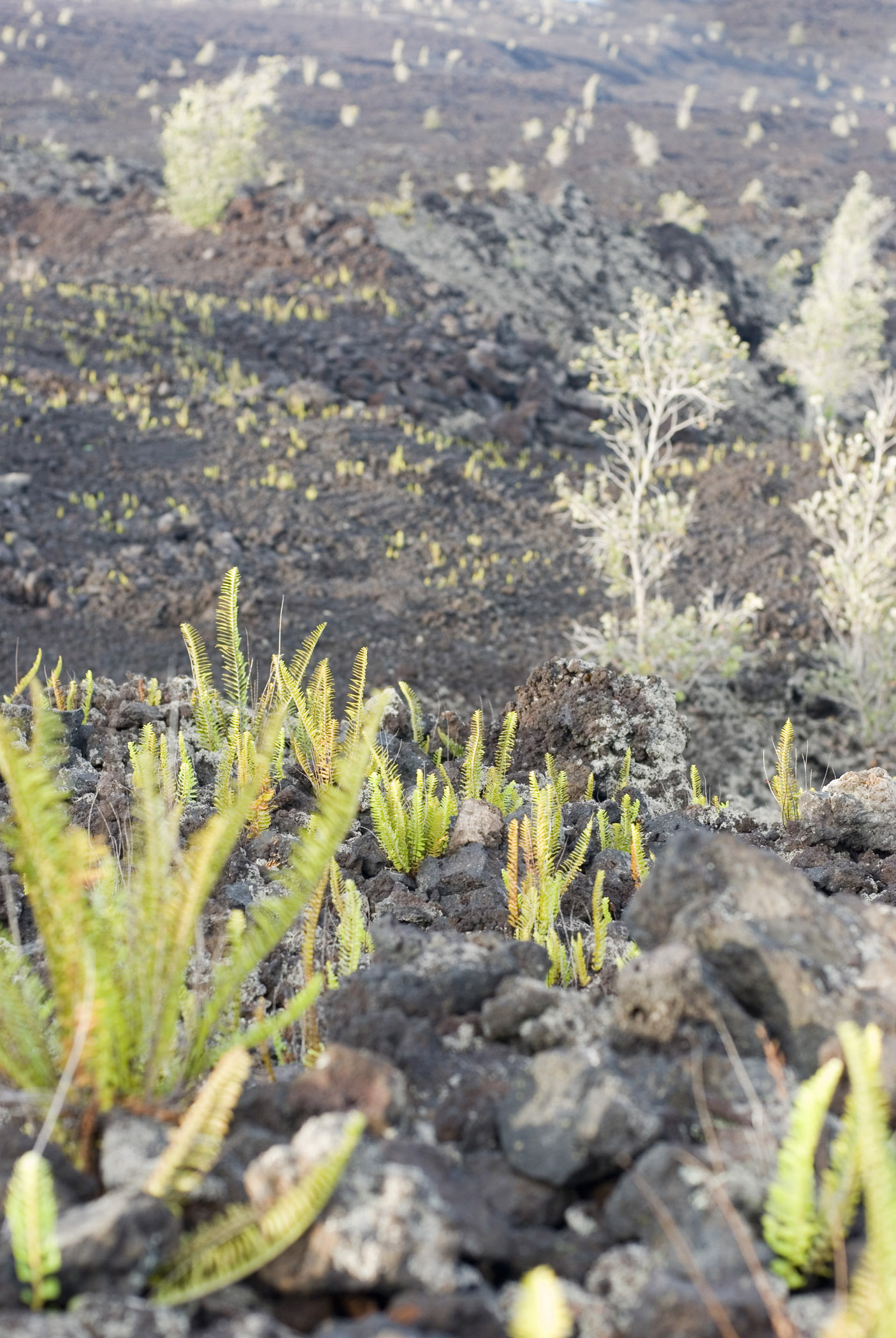 Close up Small Green Plants Growing on Volcanic Lava Field.