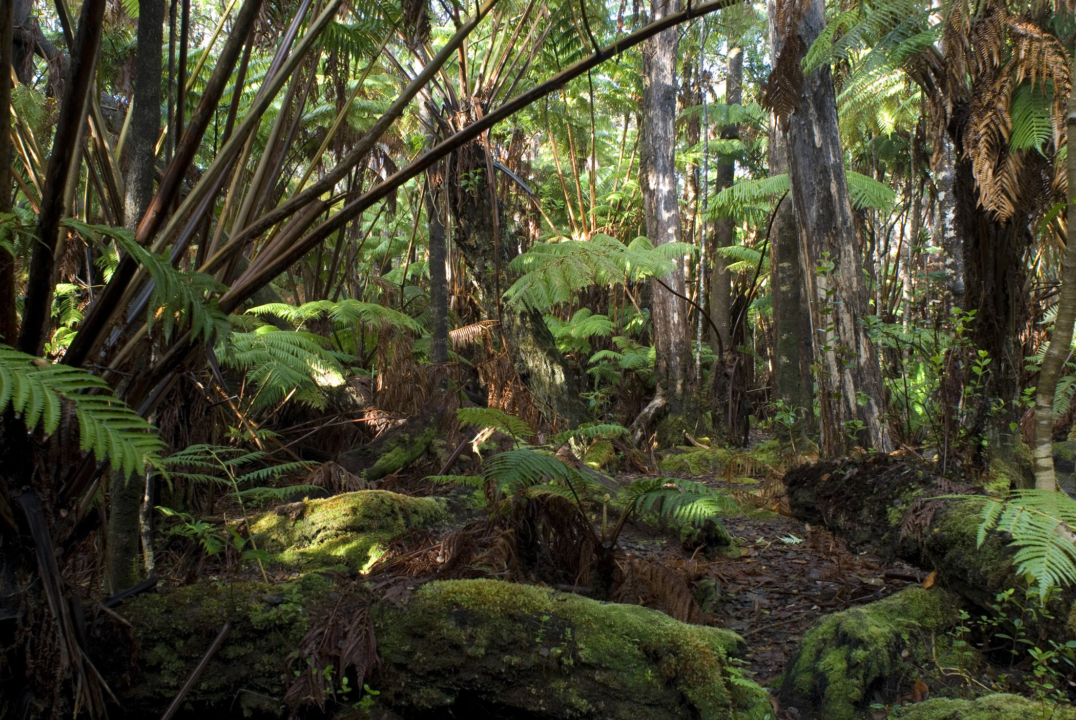 Hawaiian rainforest background with dense trees and lush green ferns and vegetation covering the floor