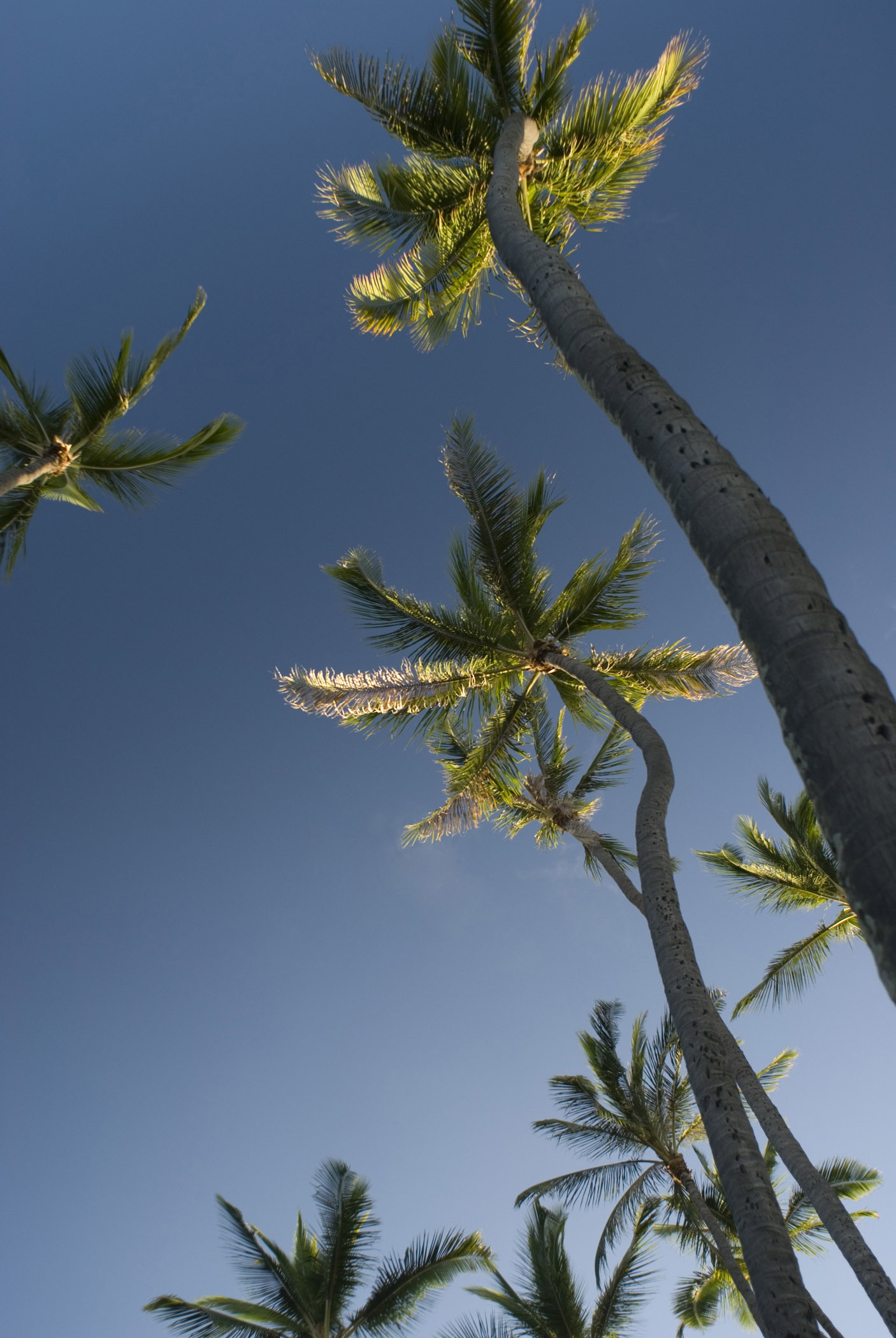 Plenty Tall Long Palm Trees in Worms Eye View. Isolated on Blue Sky Background.