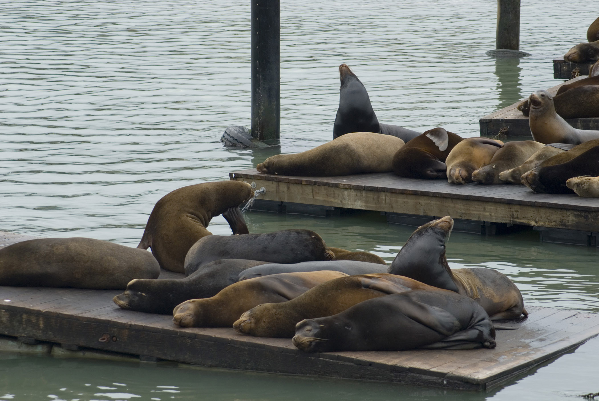 Various Sea Lions Resting on Platform Above Sea Water at Pier 39, Fishermans Wharf