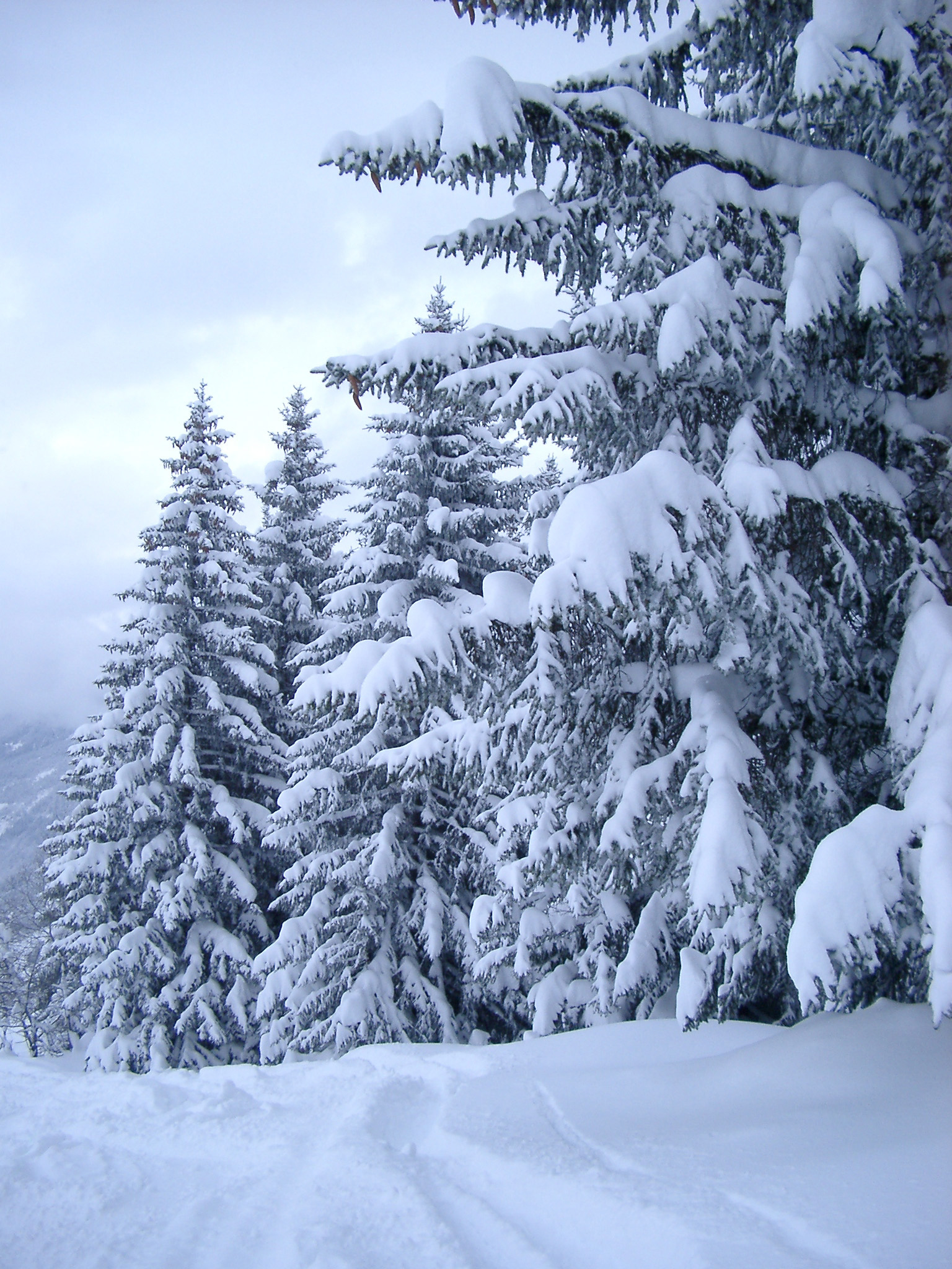Free Stock photo of Plenty Tall Fir Trees in the Snow ...
