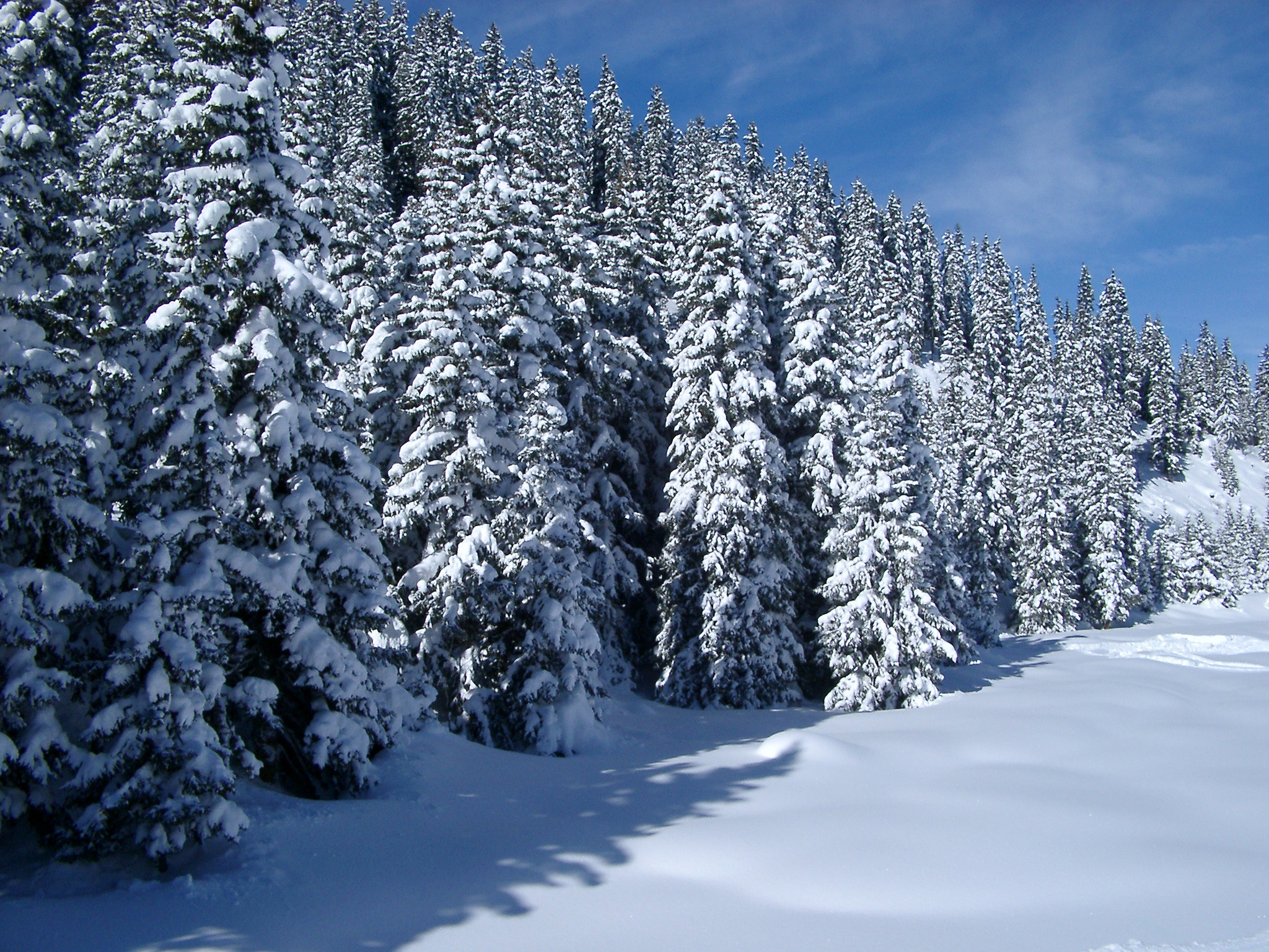 Free stock photo of snow covered forest of pine trees - Images of pine trees in snow ...