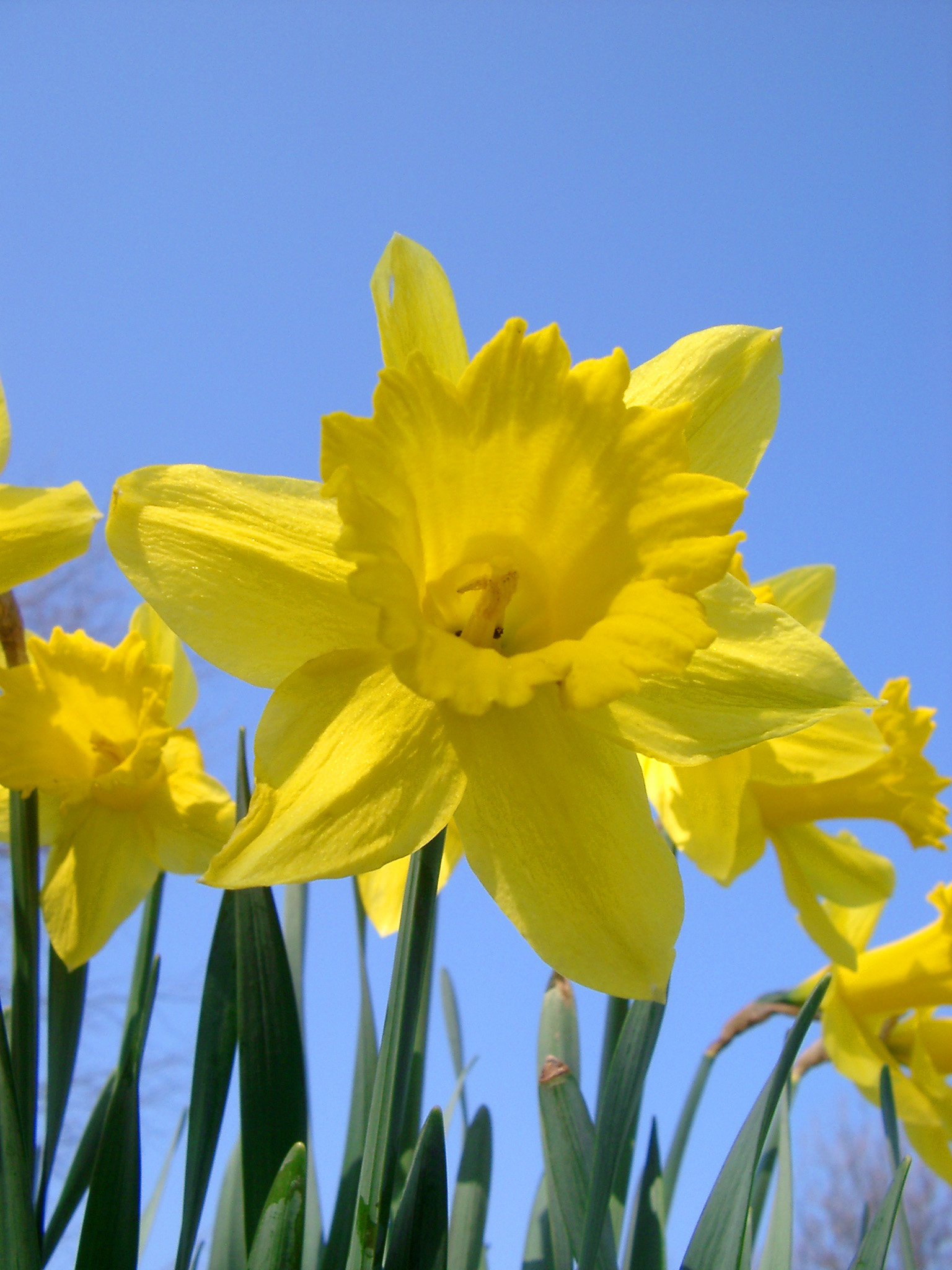 Daffodils How to Plant Grow and Care for Daffodil