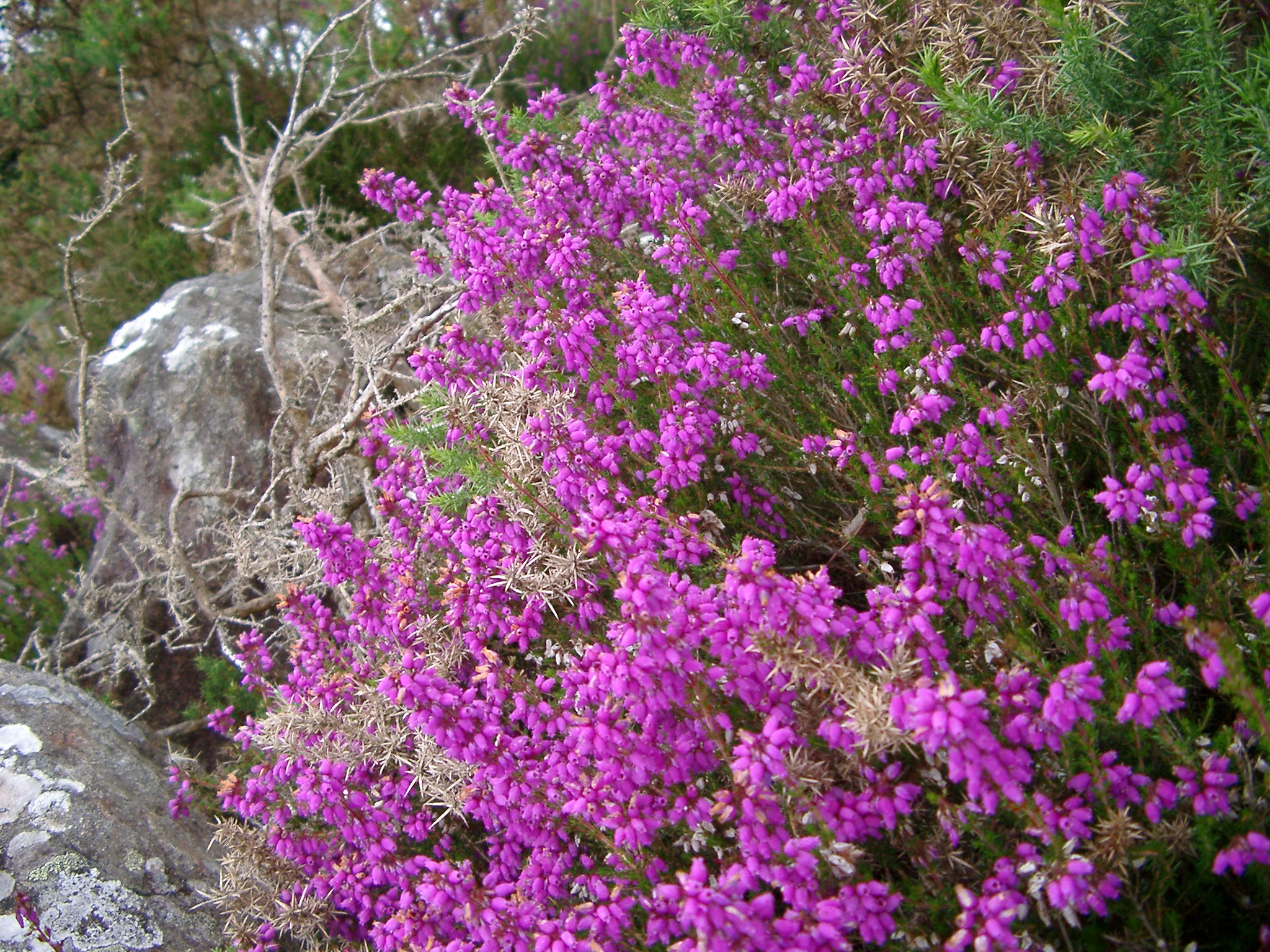 Free Stock Photo Of Colorful Bush Of Magenta Heather