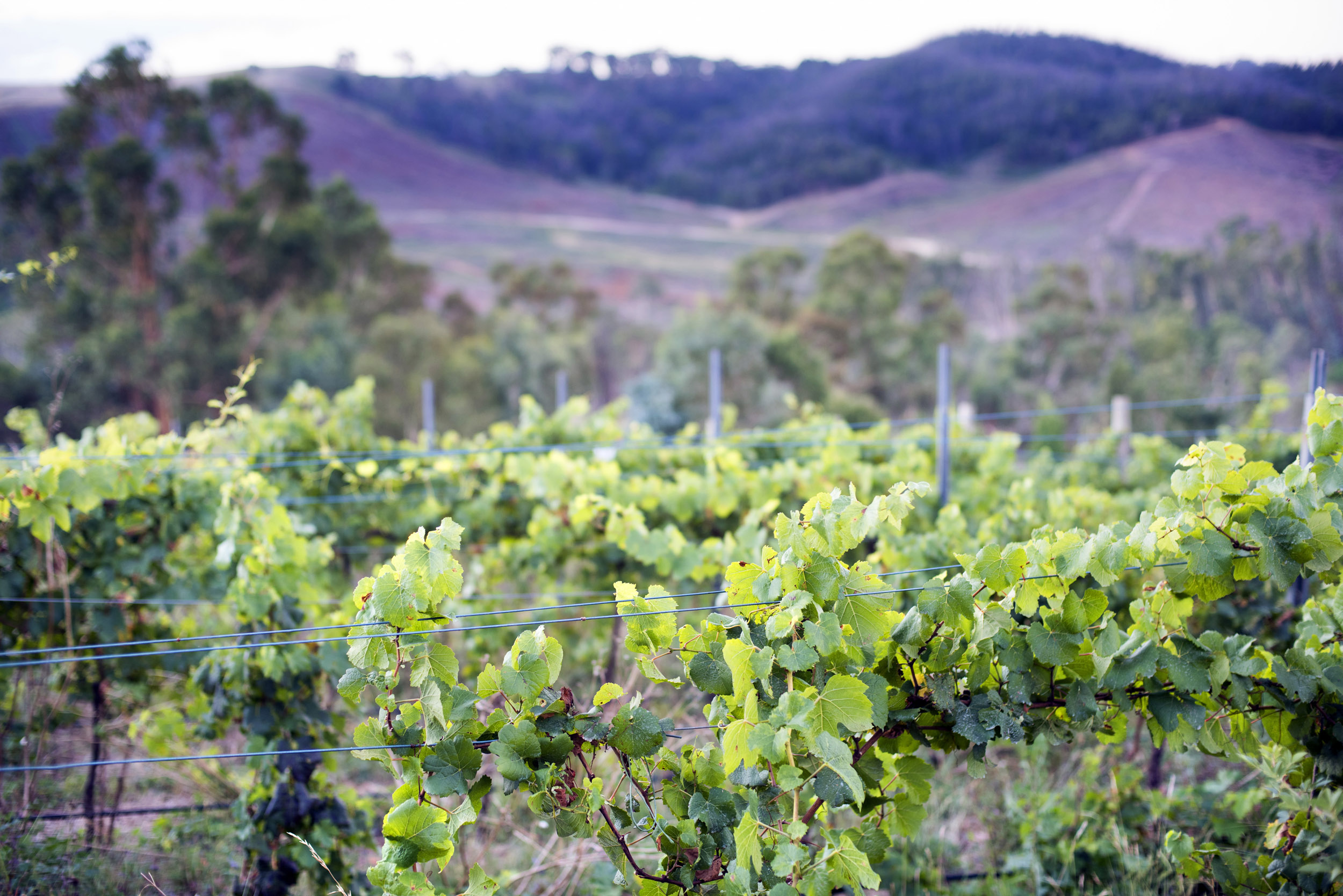 Leafy green vineyards and vines in Australia in a close up view growing on a winery in a valley between hills in a viticulture, viniculture and winemaking concept