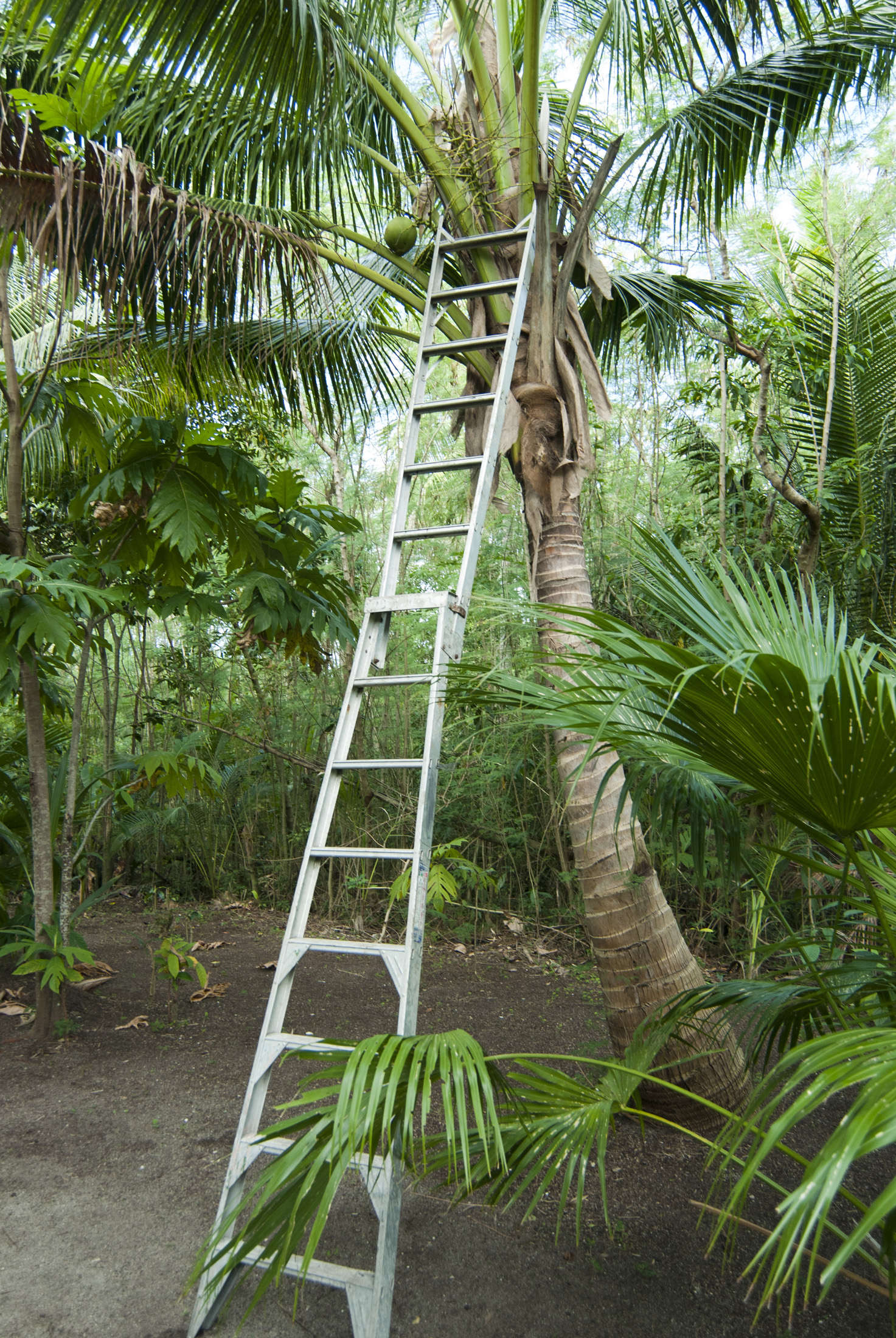 Long aluminium ladder leaning up against a cocnut palm to facilitate the picking of fresh coconuts