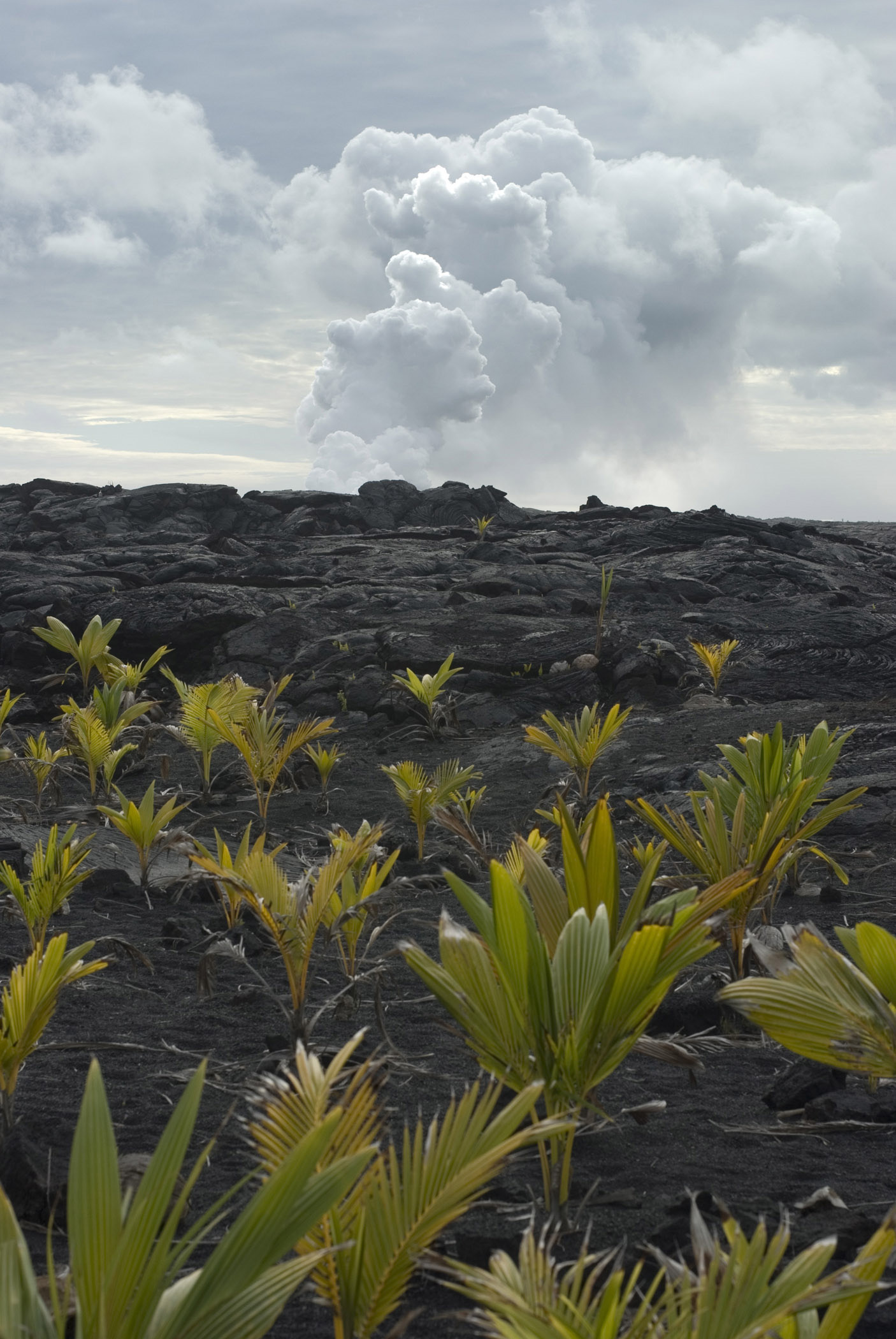 Free Stock Photo Of Small Coconut Plants On Hardened Lava